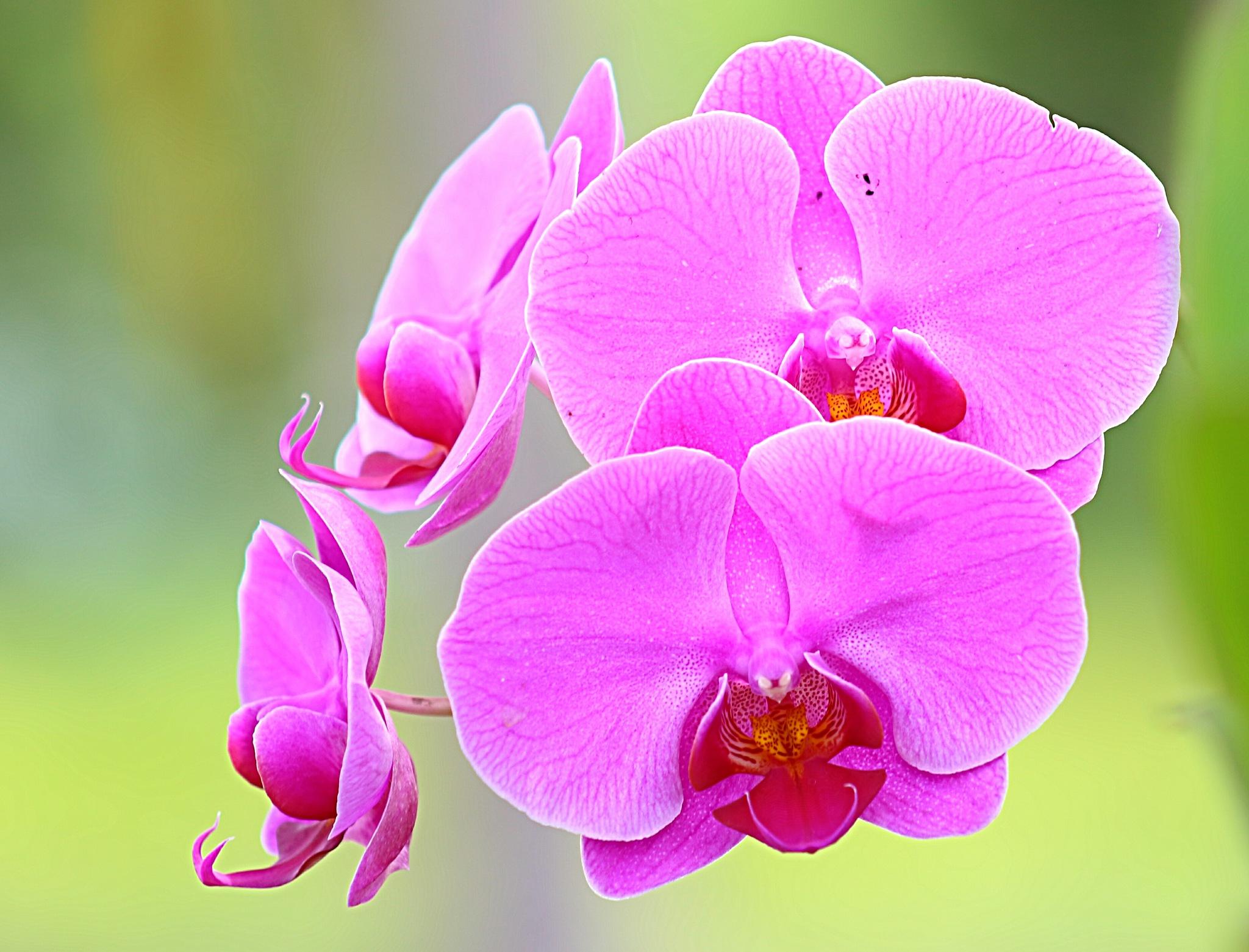 Orchids Phalaenopsis. by Nestor