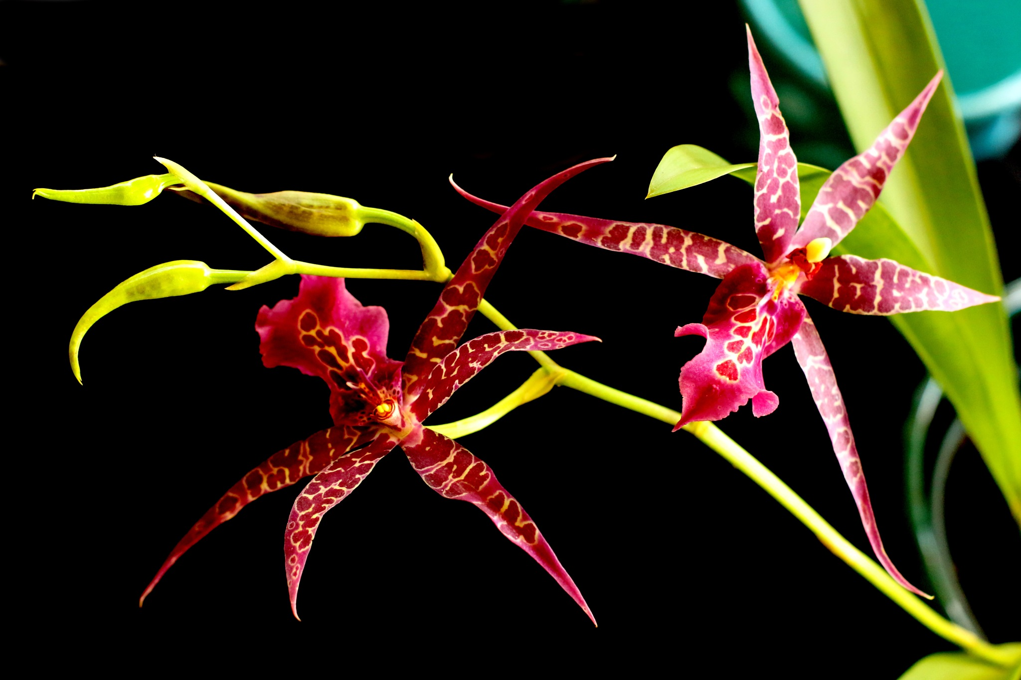 Spider orchid by Nestor