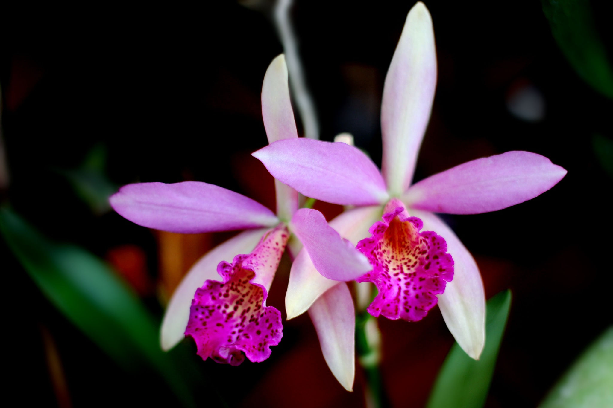 Orquídeas lindas. by Nestor