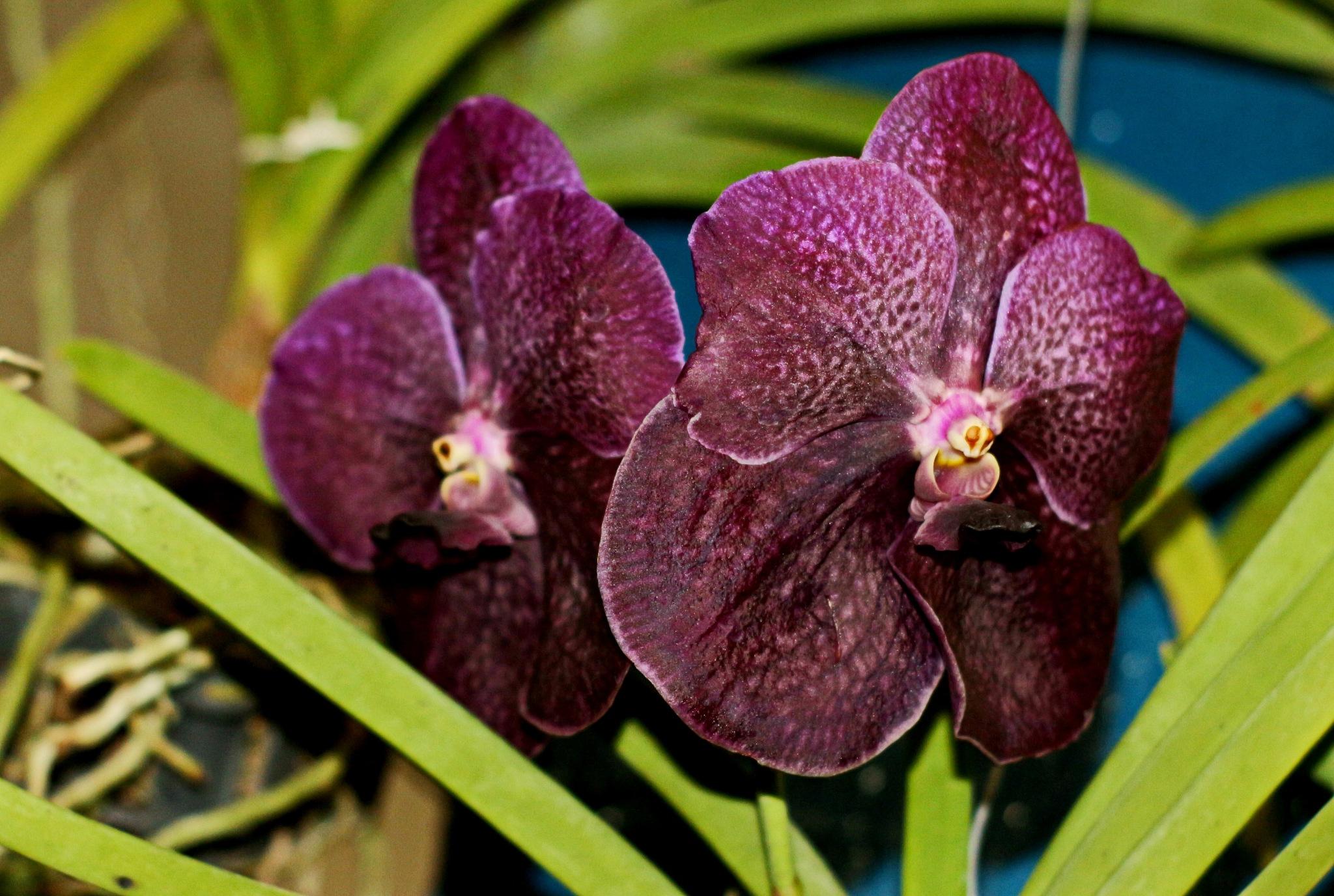Purple Vanda orchid. by Nestor