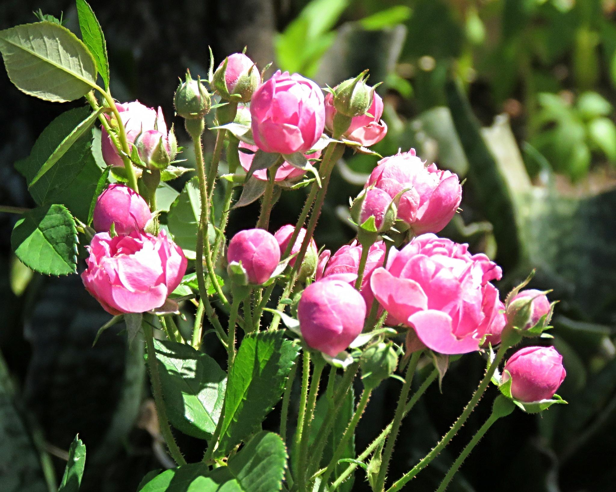 Mini roses. by Nestor