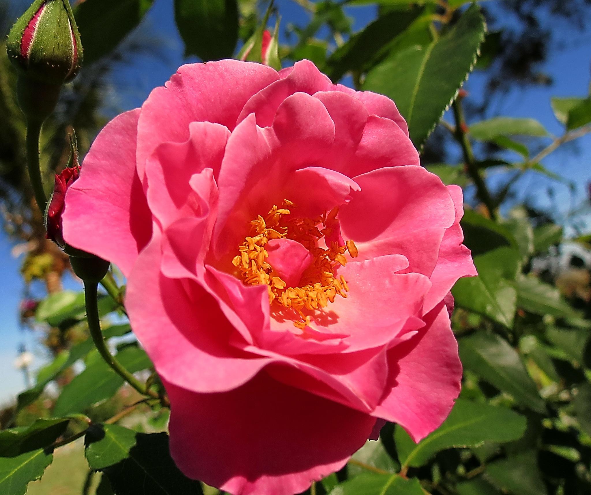 Rose in garden by Nestor