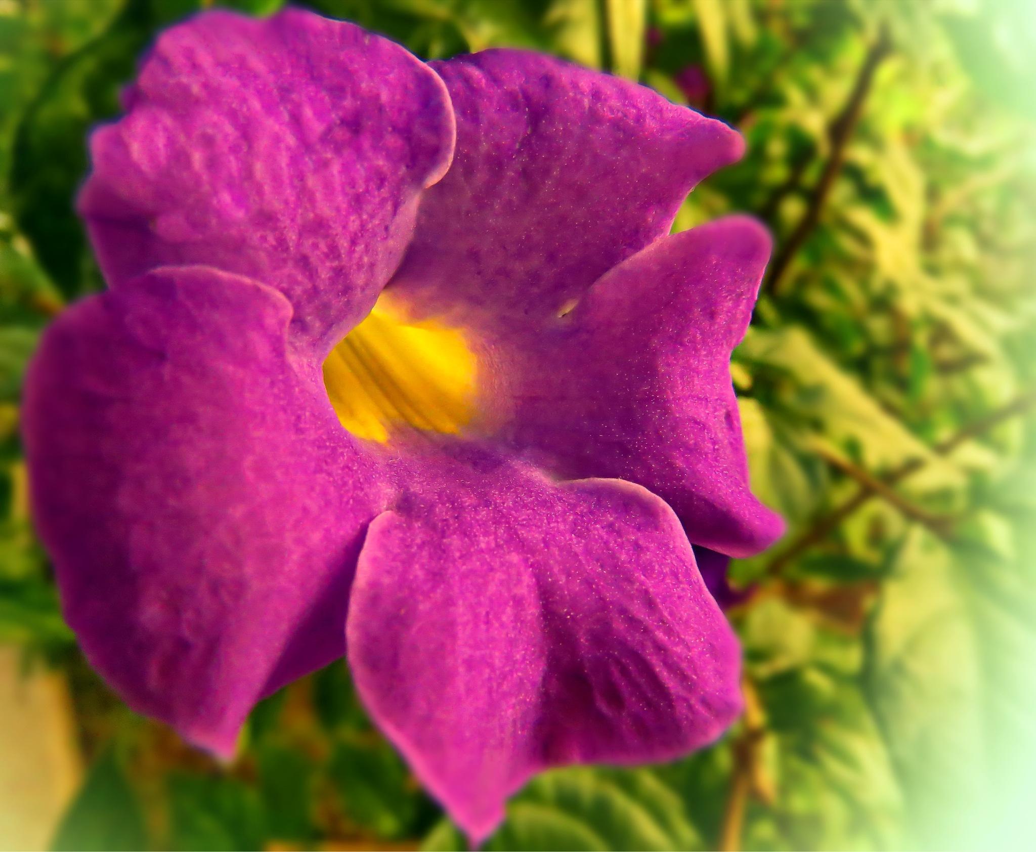 Petunia flower by Nestor