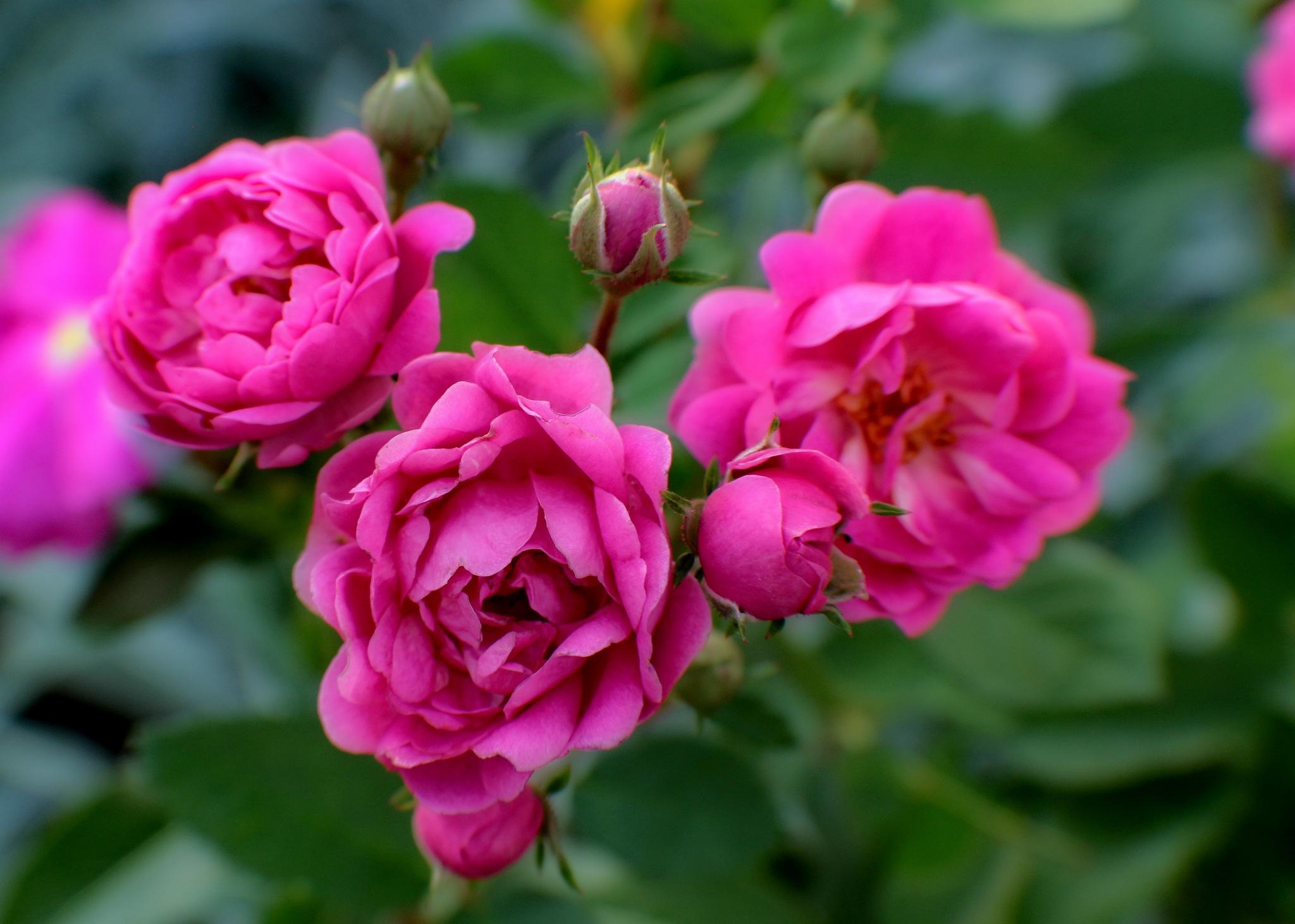 Roses - mini by Nestor