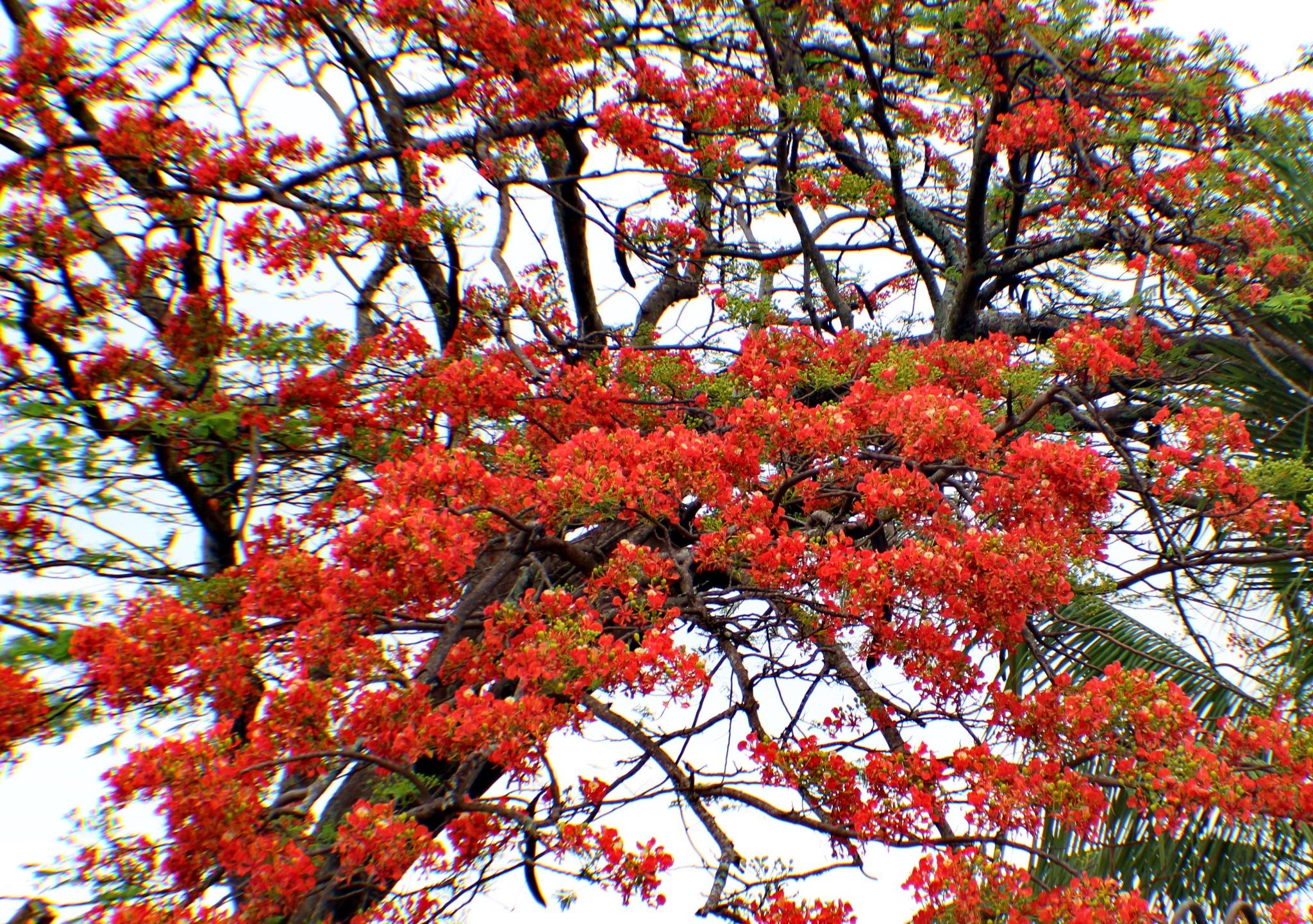 Flamboyant tree by Nestor