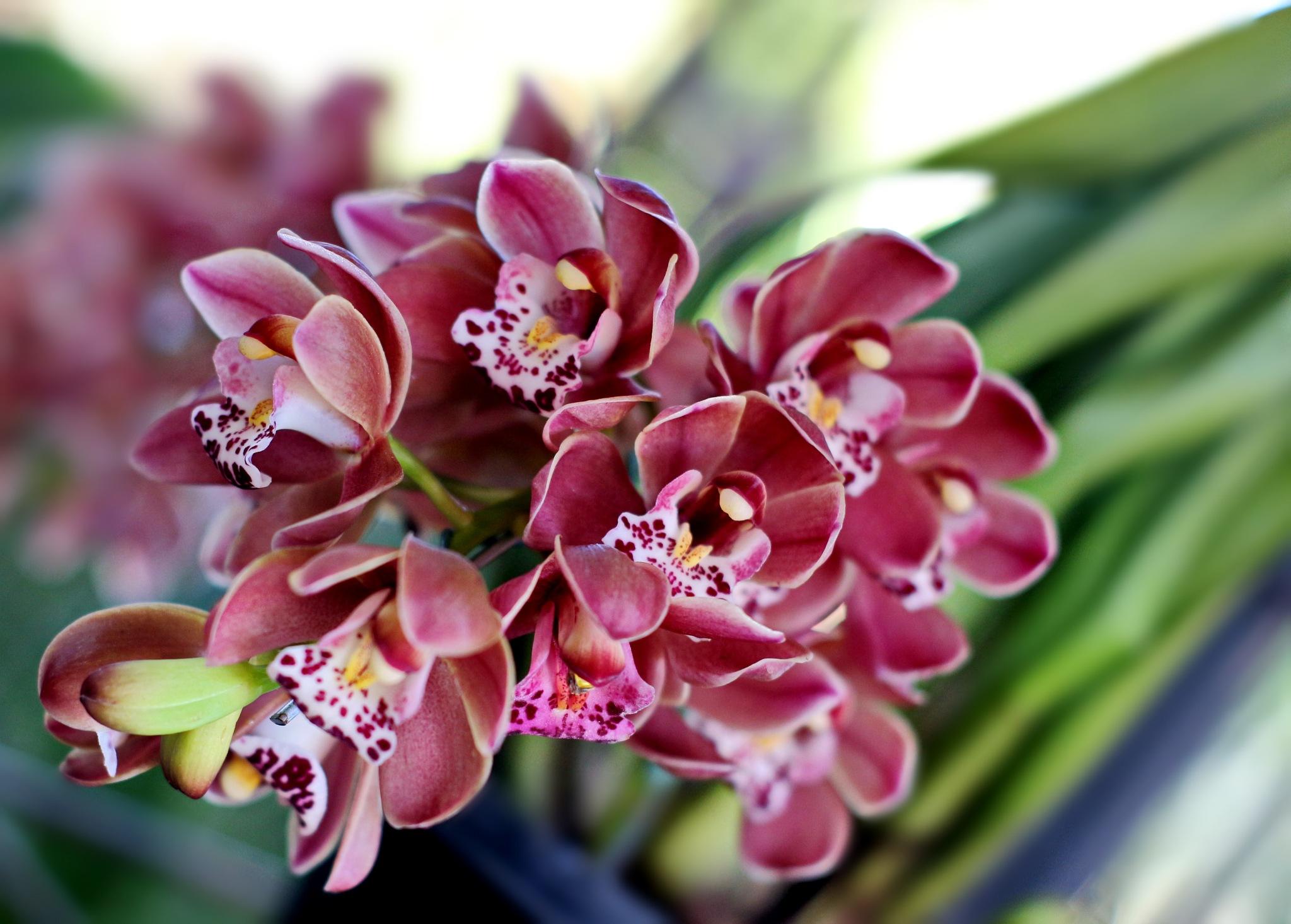 Cymbidium orchids. by Nestor