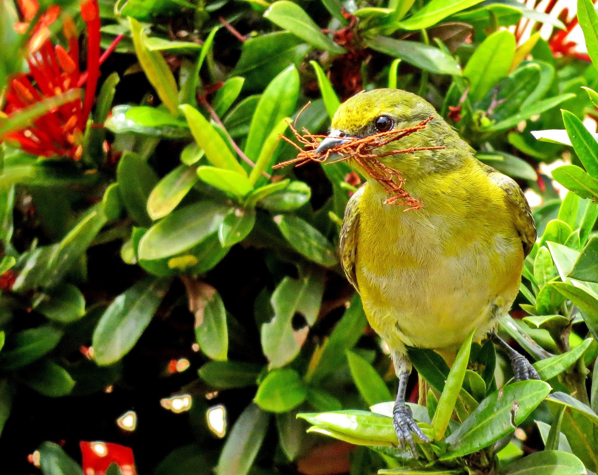 Fim Fim - female bird by Nestor
