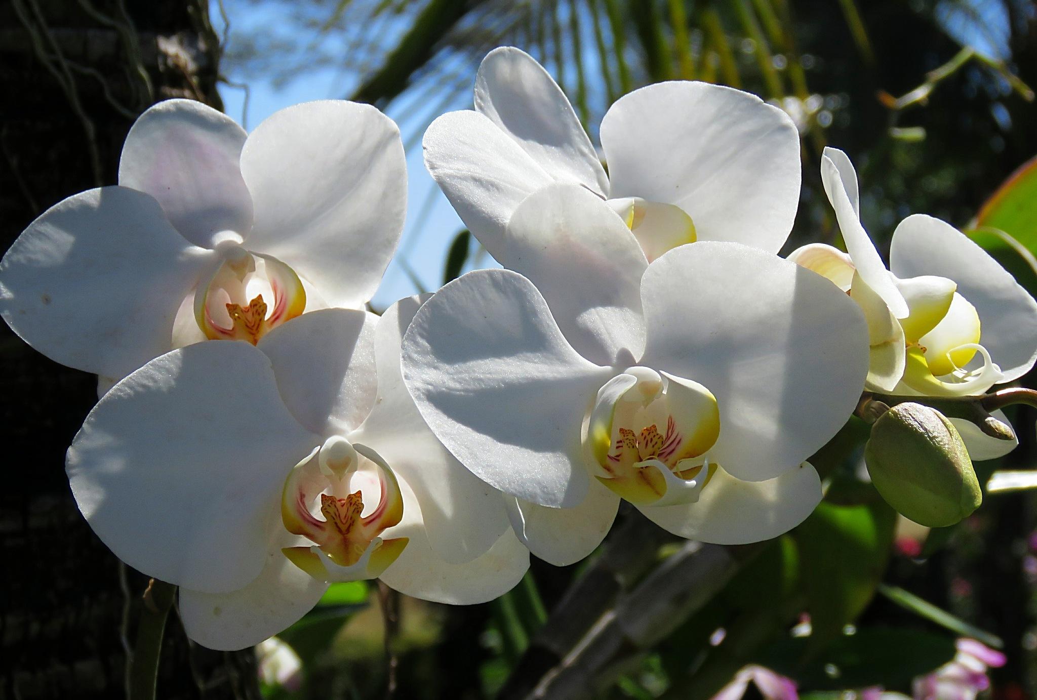 Sun - light - orchid by Nestor