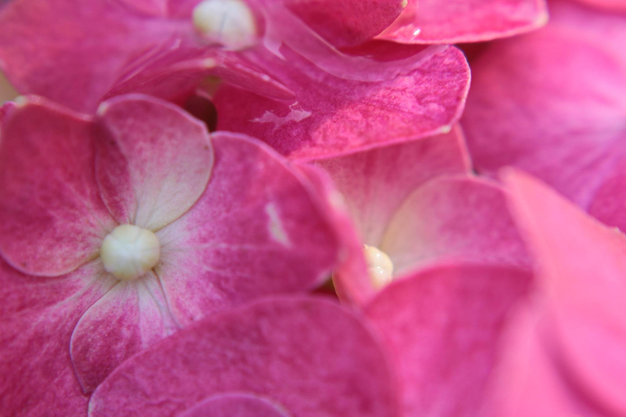 Rose hidrangea by Nestor