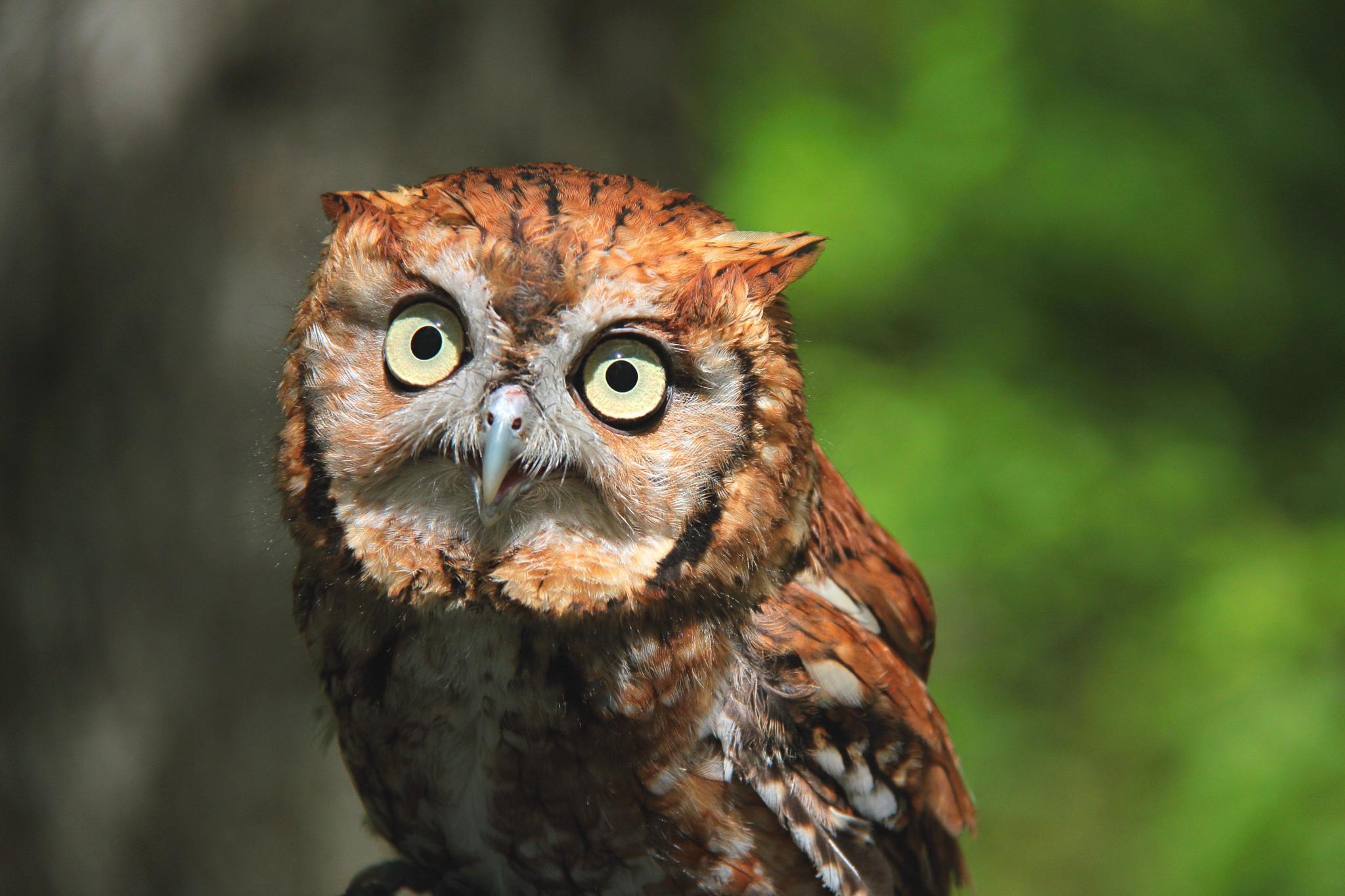 Eastern Screech-Owl by itreyger