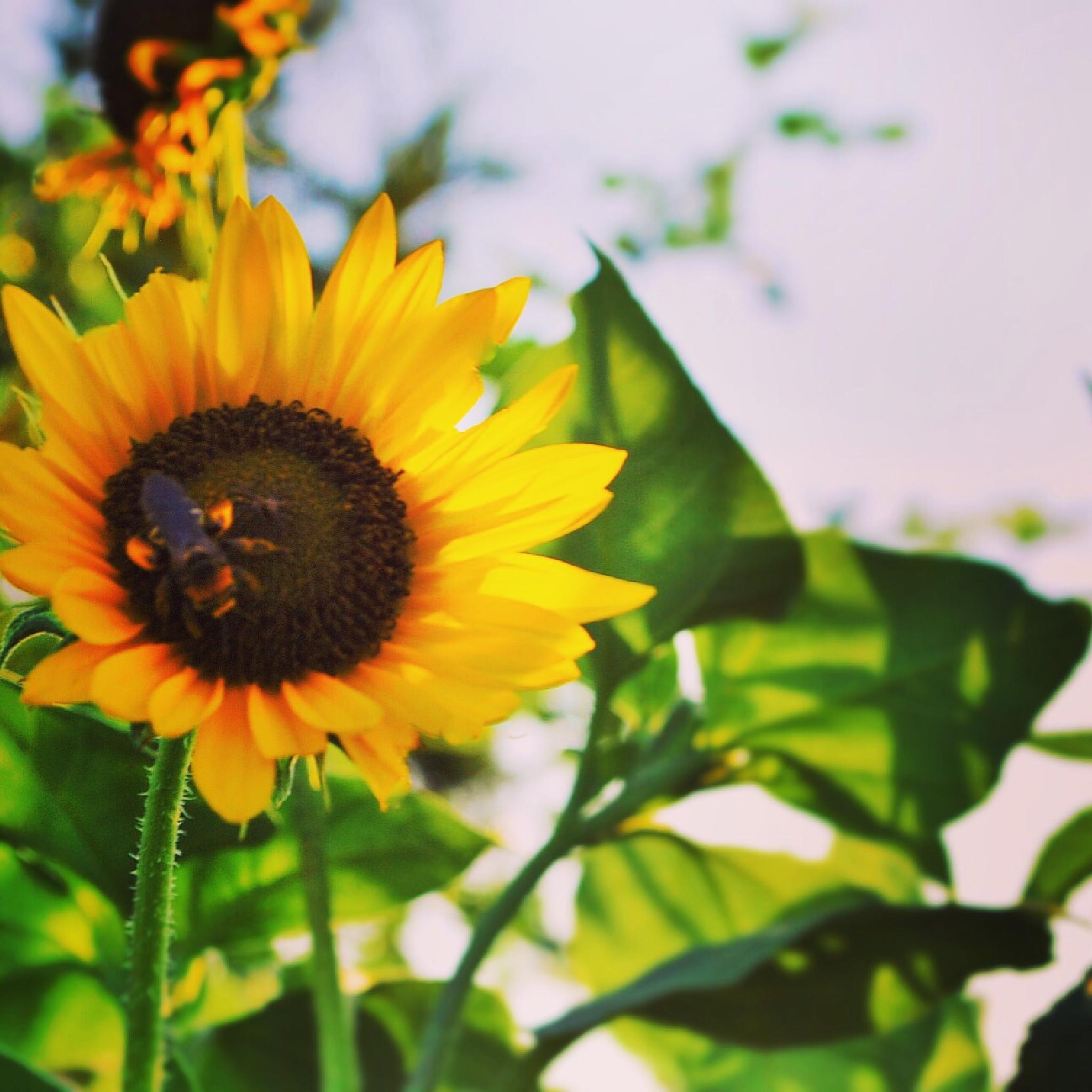 Sunflower by Jennifer Hassinger
