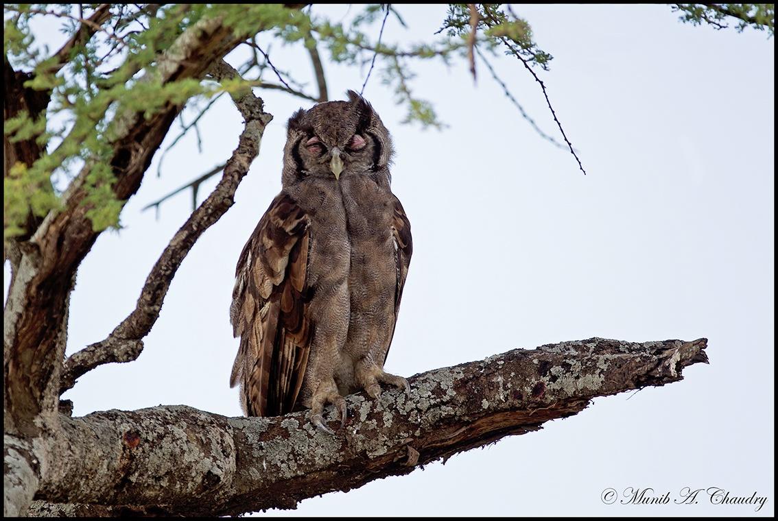 Photo in Animal #day dreamer #owl #verreaux's eagle-owl #wild bird #wild africa #birds of east africa #serengeti national park #tanzania #mac's wild pixels