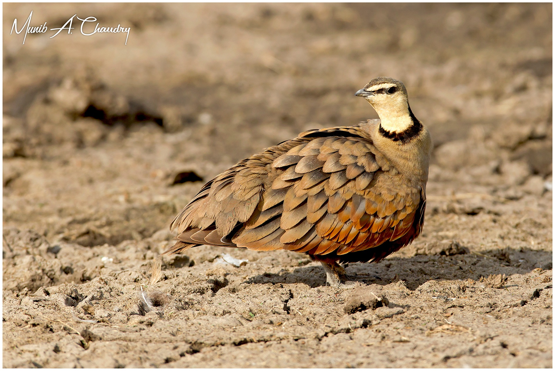 The Male Sandgrouse! by munibchaudry