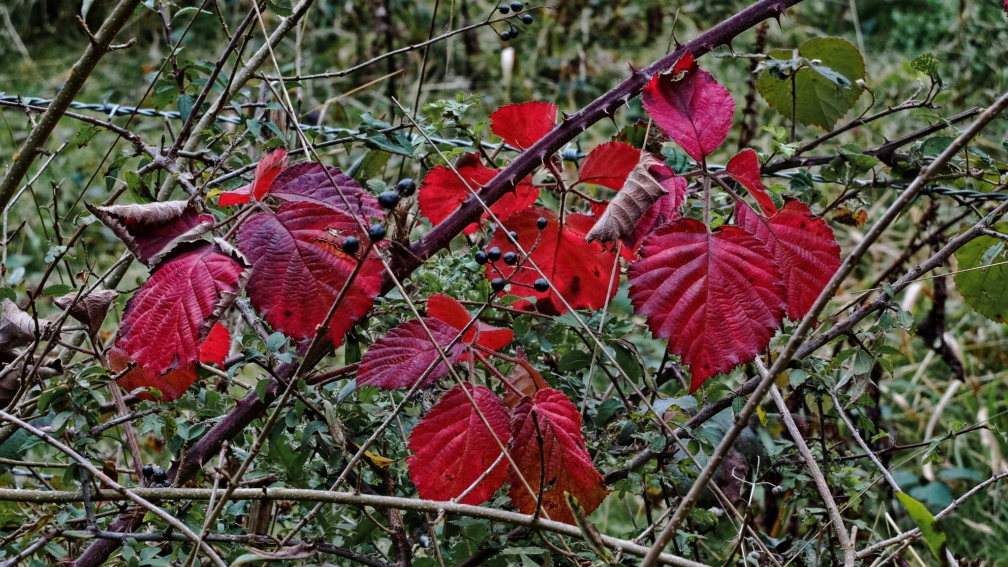 Autumn Bramble by Keith Patrak
