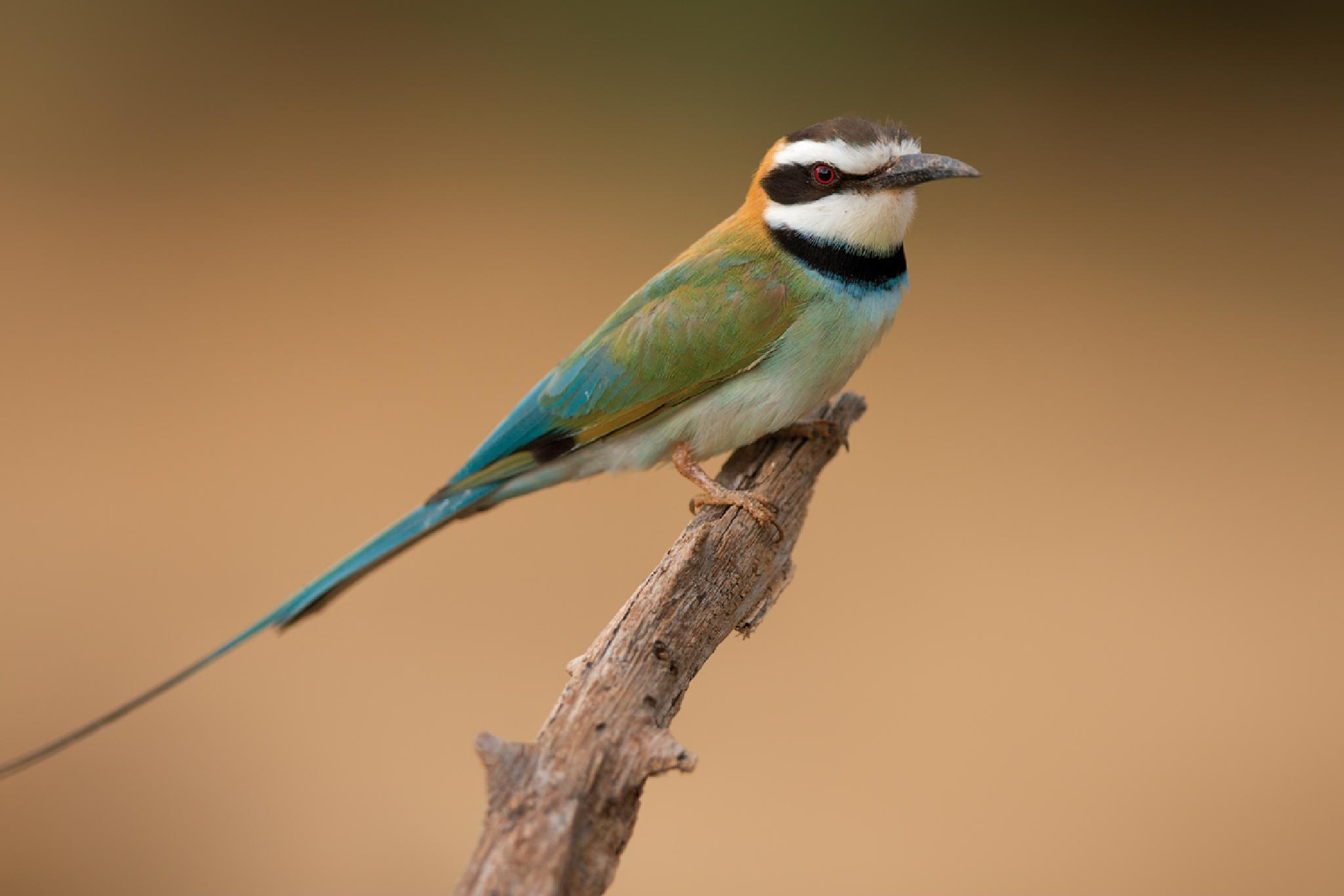 White-throated Bee-Eater by Thomas Retterath