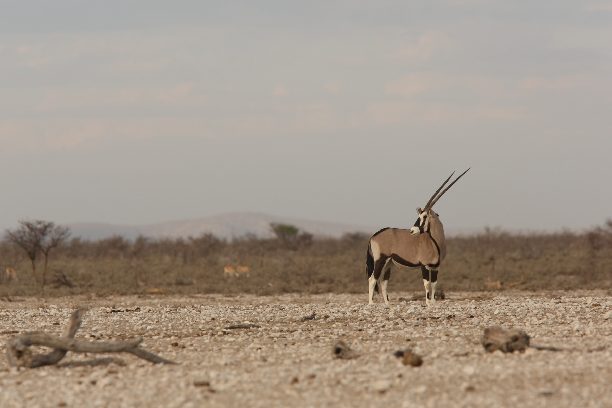 Oryx in the Etosha NP by Thomas Retterath