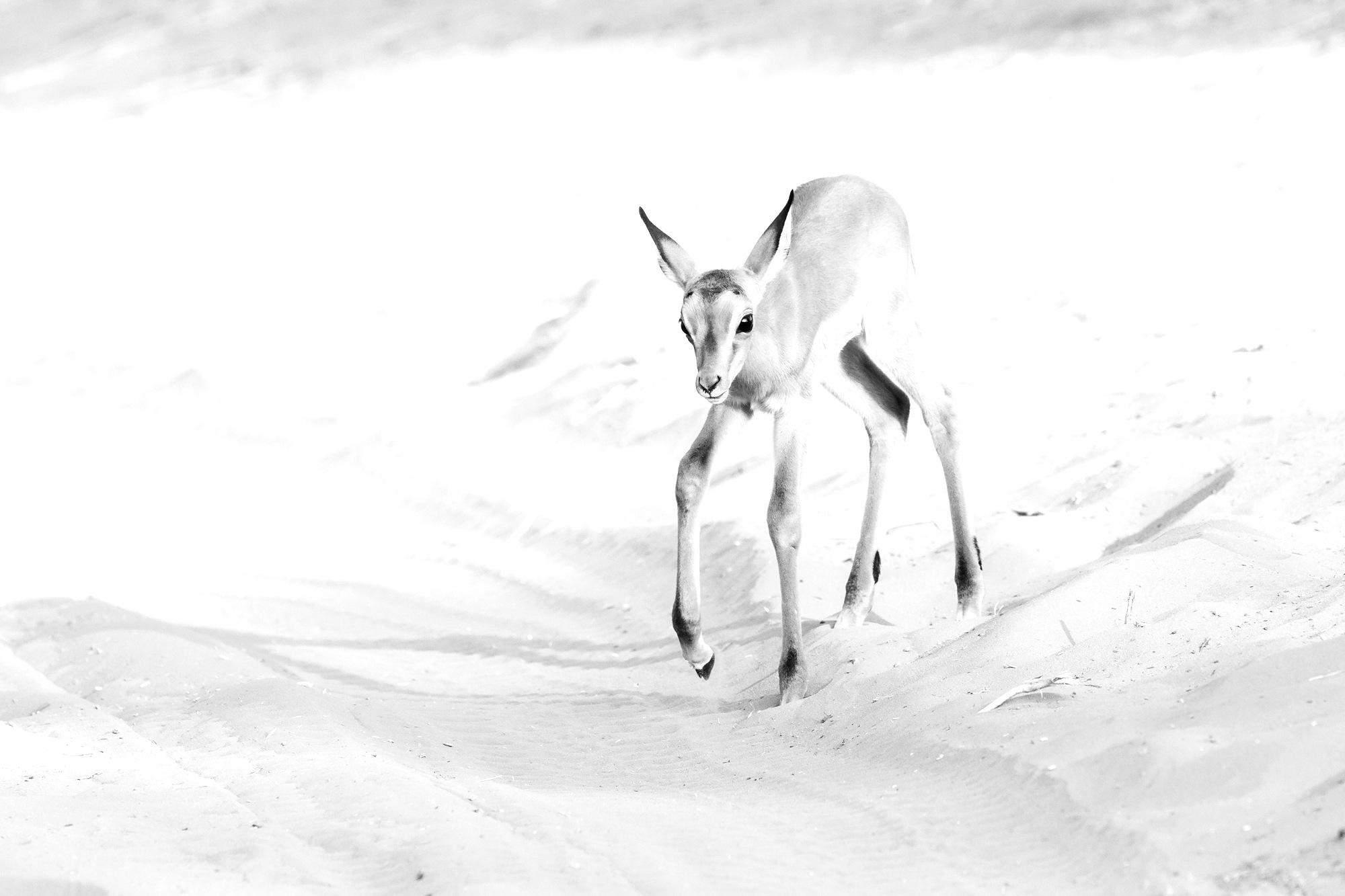 Photo in Animal #high key #botswana #impala #fawn #safrai #wildlife #monochrome