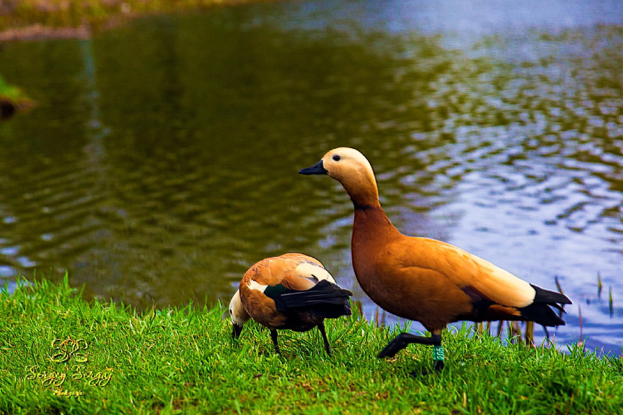 Duck's family by Sergey Sergaj