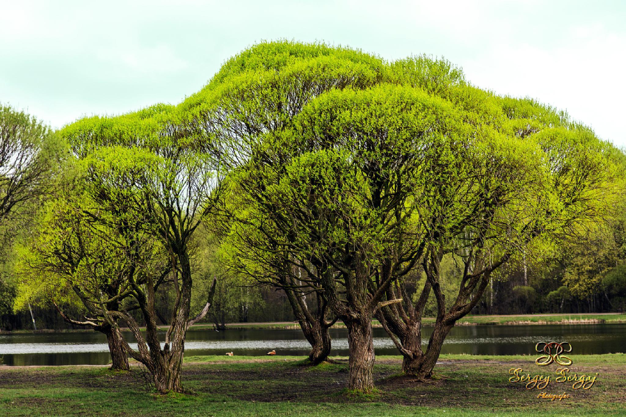 Spring trees by Sergey Sergaj