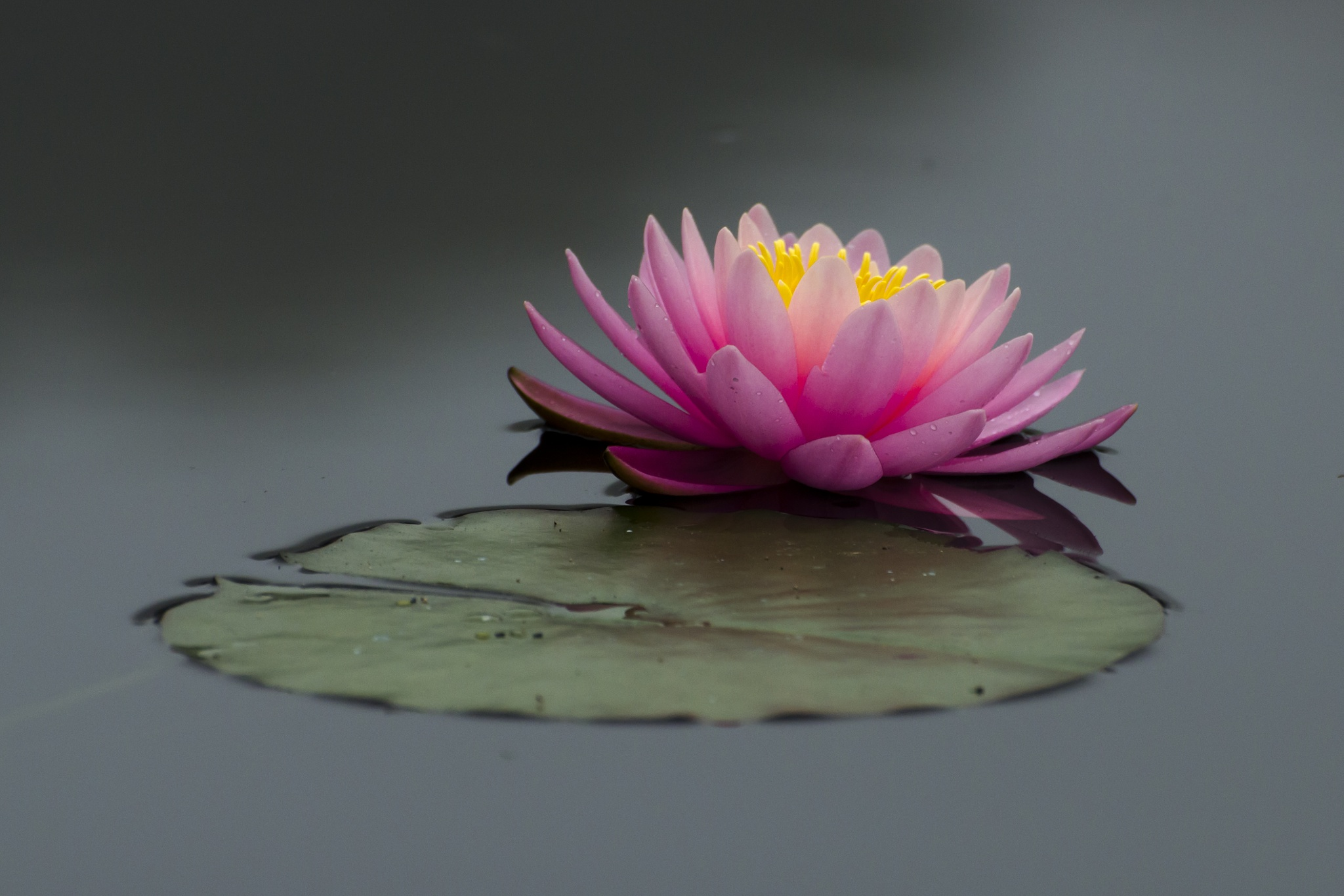 Aquatic Flower by jcarloscmonteiro