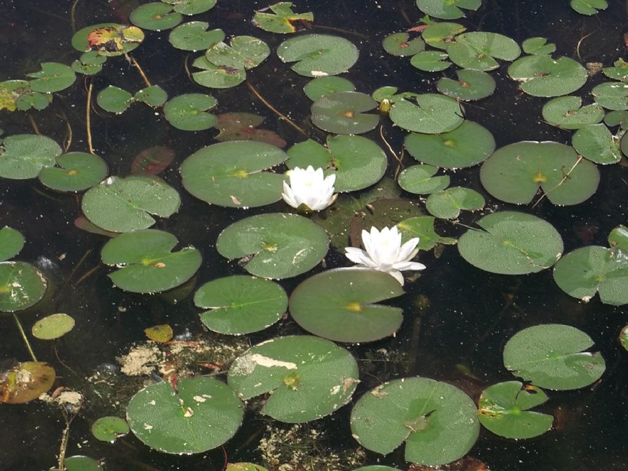 Lily Pads by robbie15
