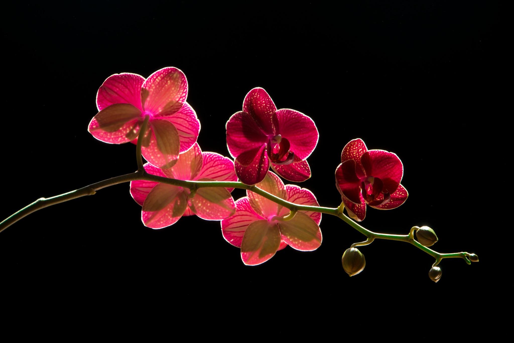 orchids by lizardofthewisard