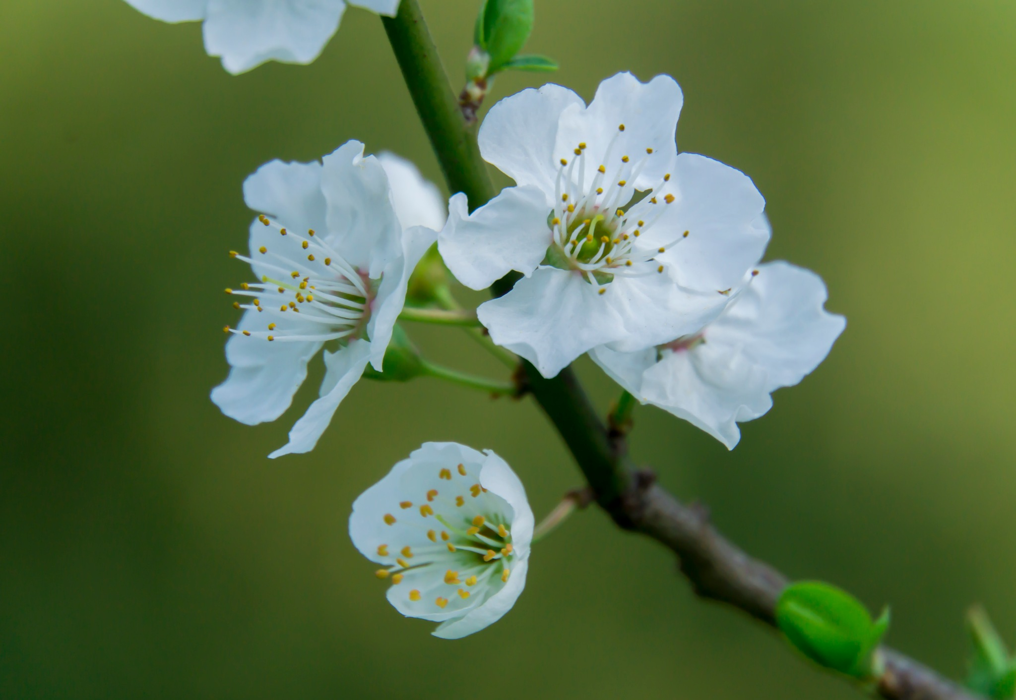 white blossom by lizardofthewisard