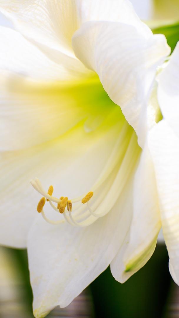 white lilly by Sebastian Kutzera