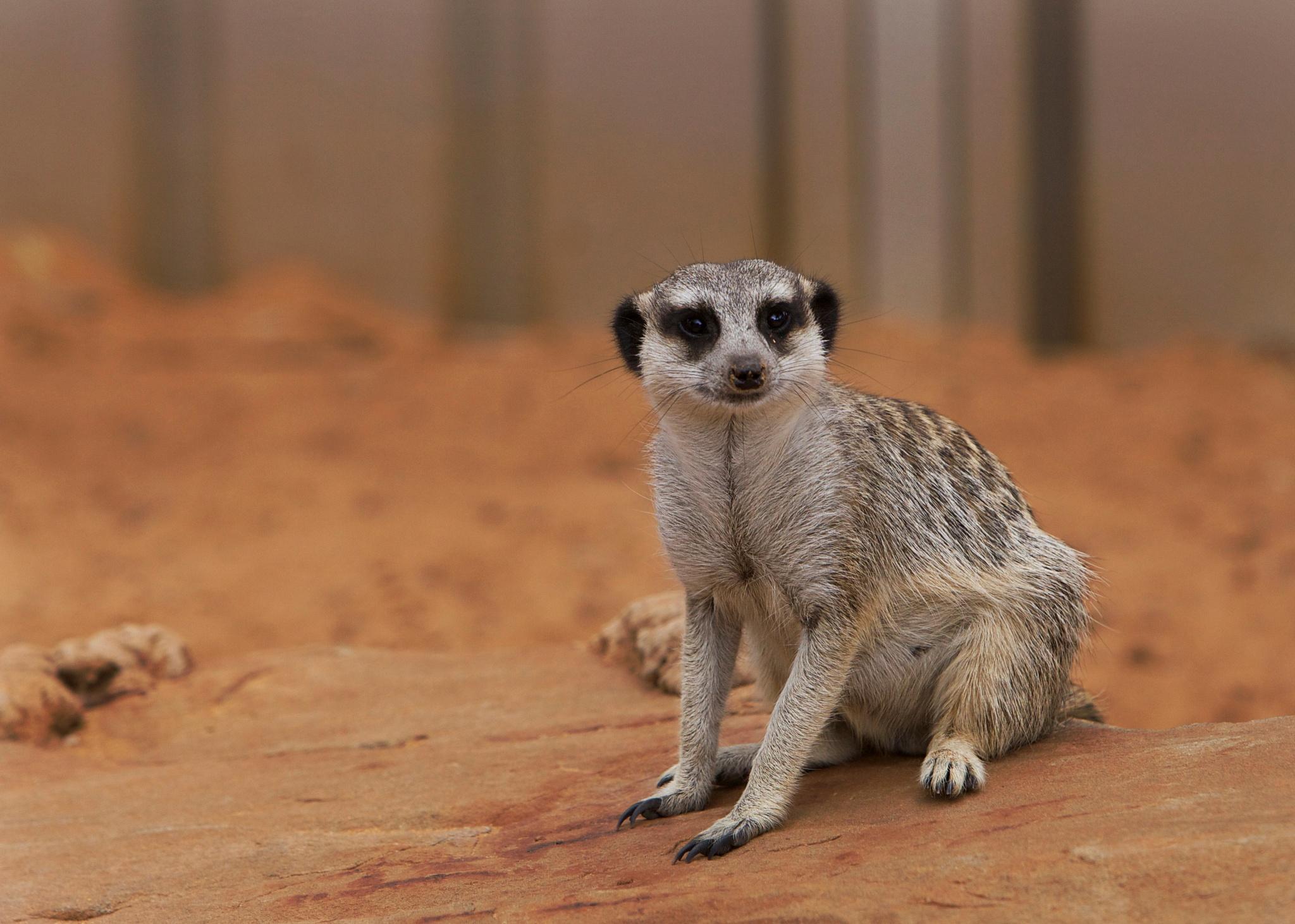 Meerkat by RobbieP