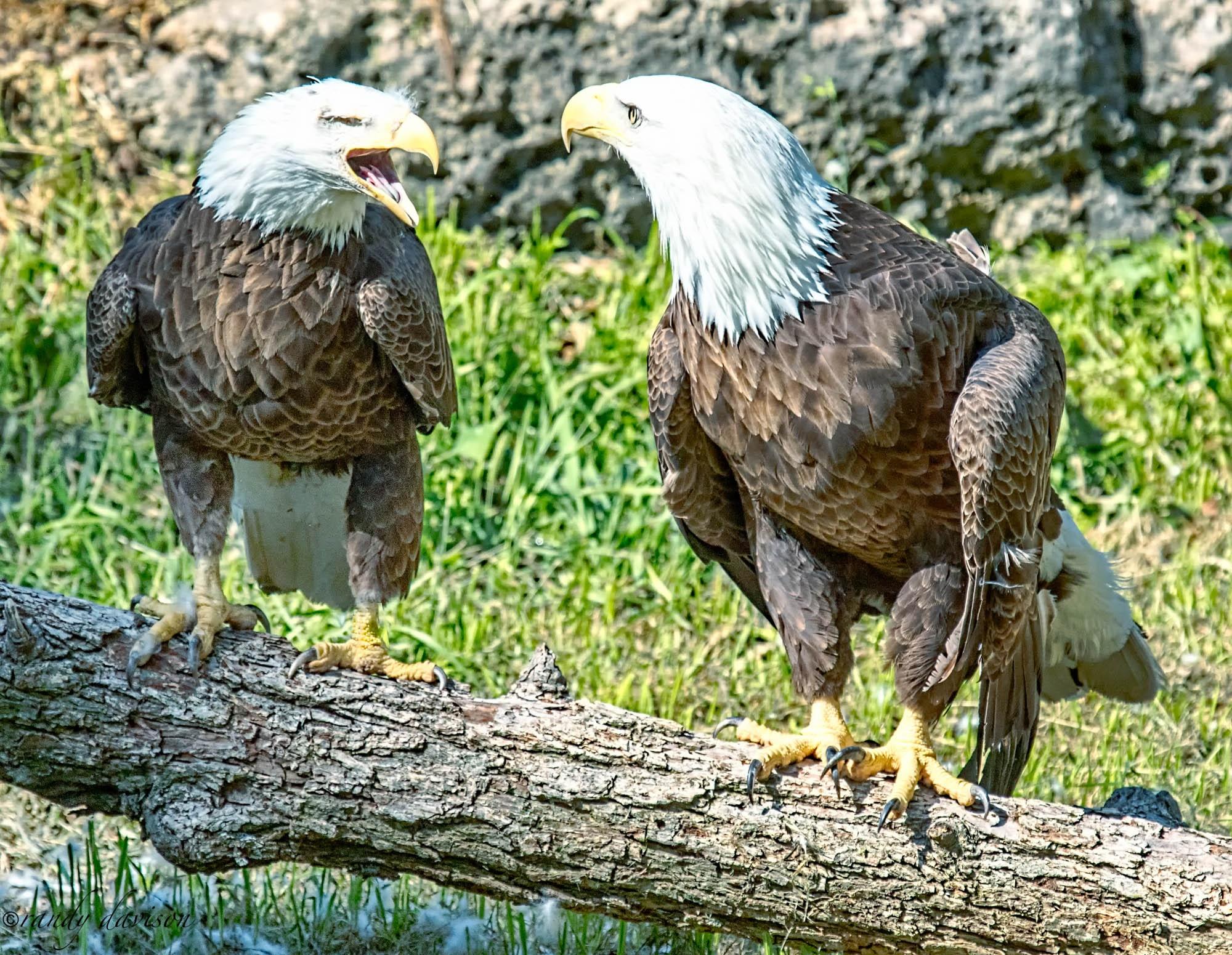 Photo in Animal #animal #eagle #bald eagle #american bald eagle #bird