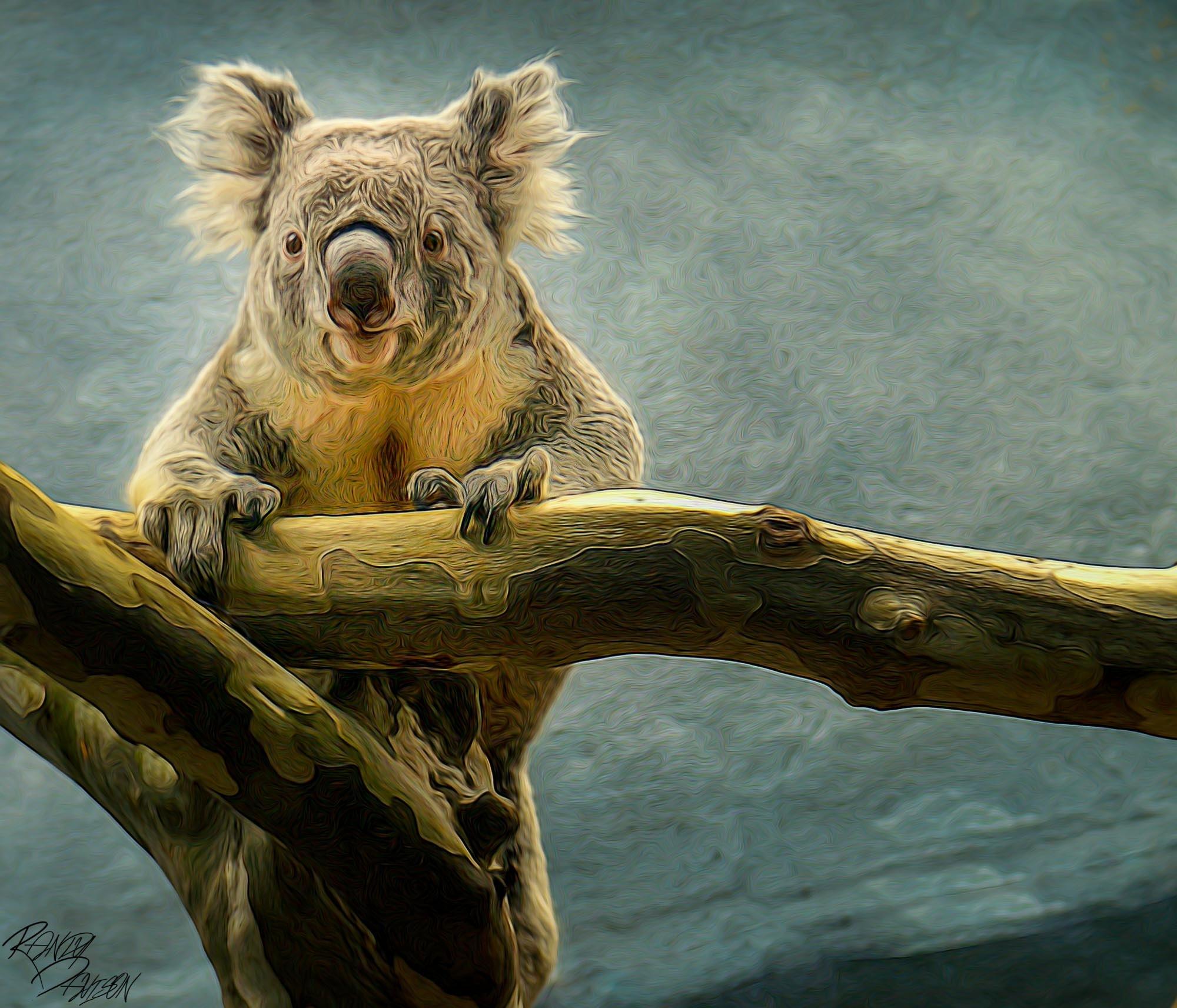 Koala Bear on a climb by randydavison
