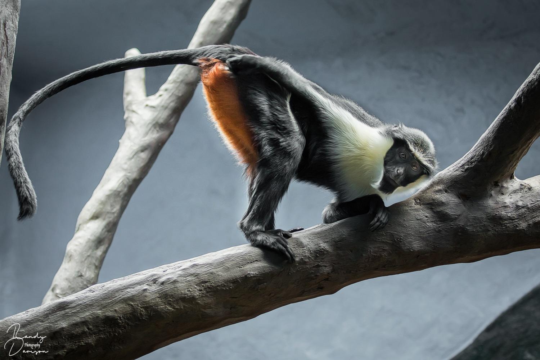 Diana Monkey by randydavison