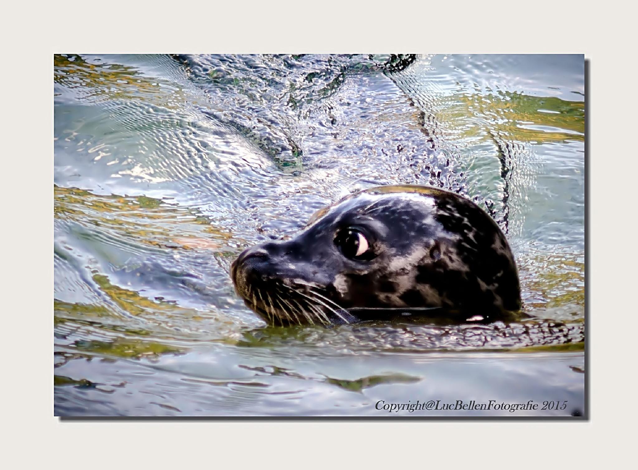 ~~ Seal ~~ by Luc Bellen