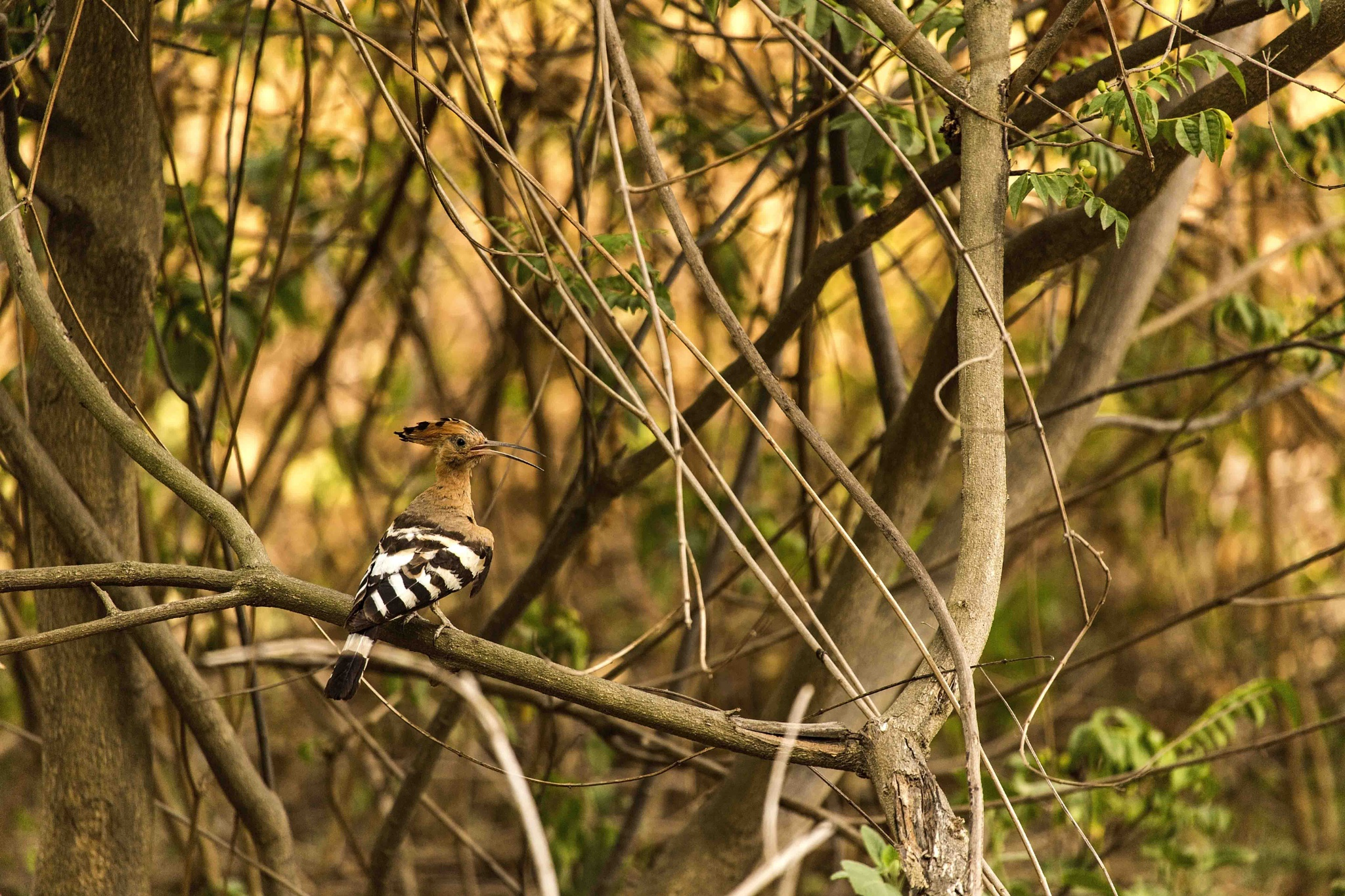 COMMON HOOPOE!!! by guran60