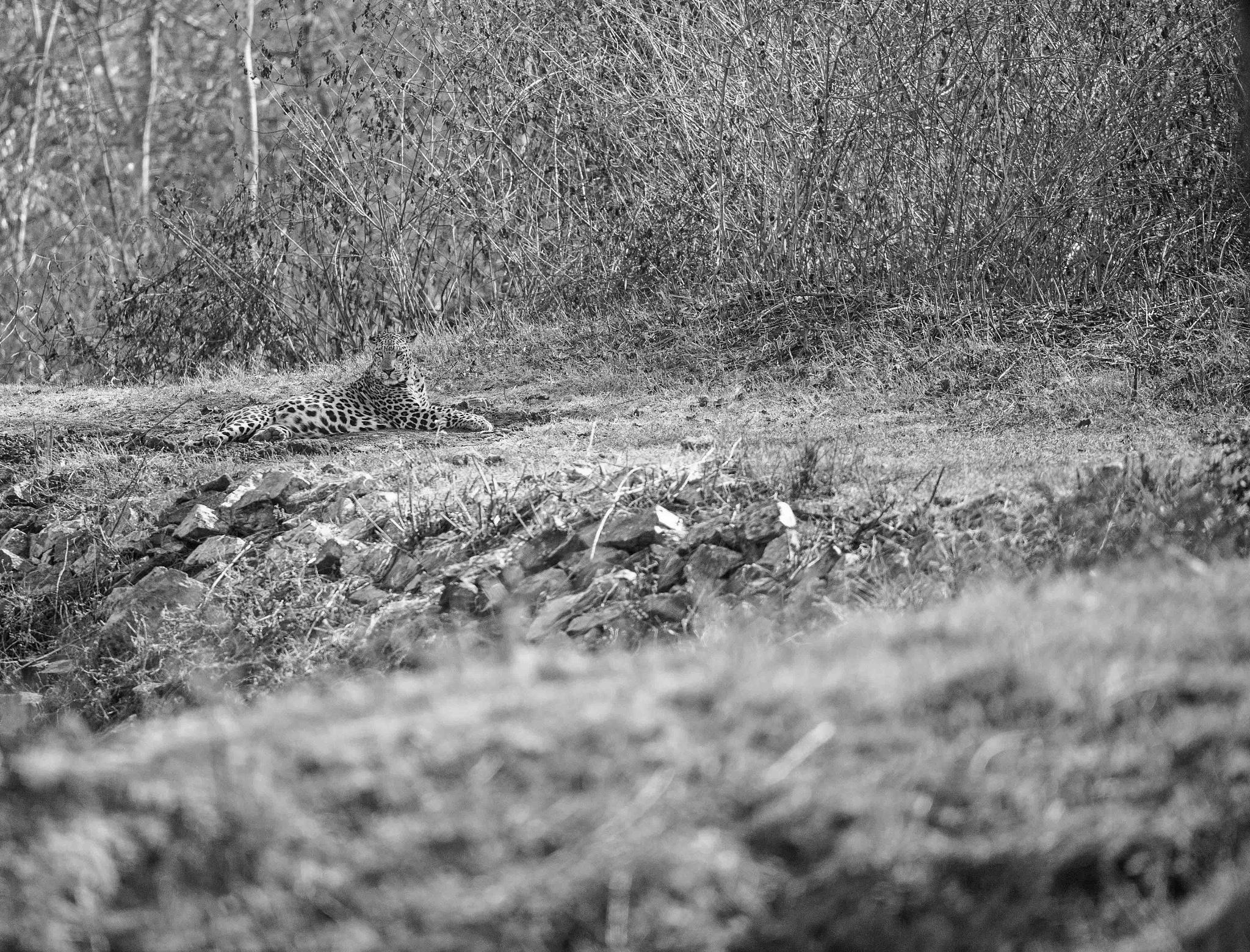 MALE!!!! leopard by guran60