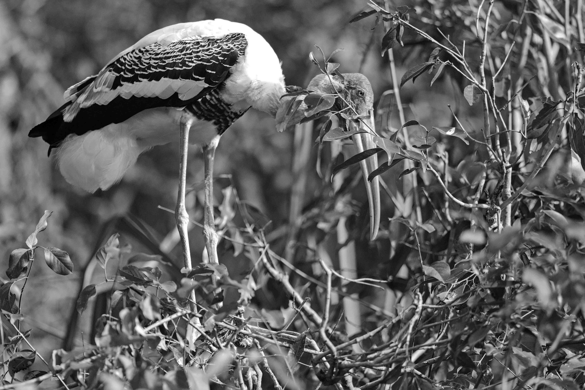_Painted Stork _ by guran60
