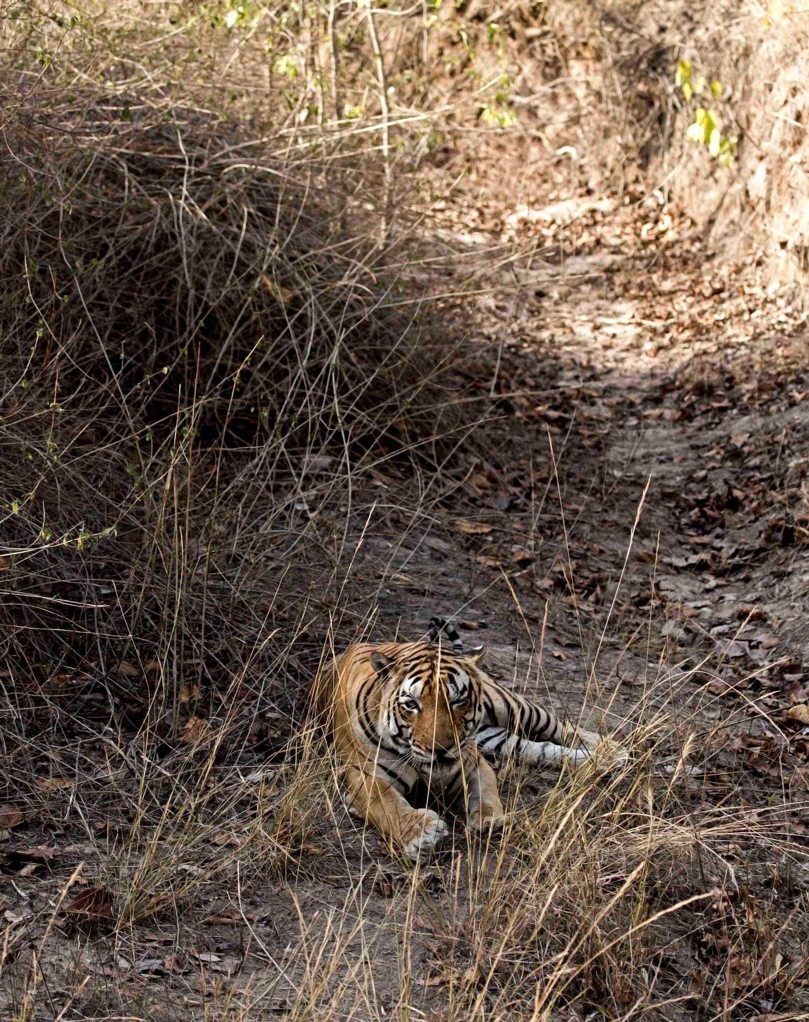 _ELUSIVE!!!! male tiger..._ by guran60