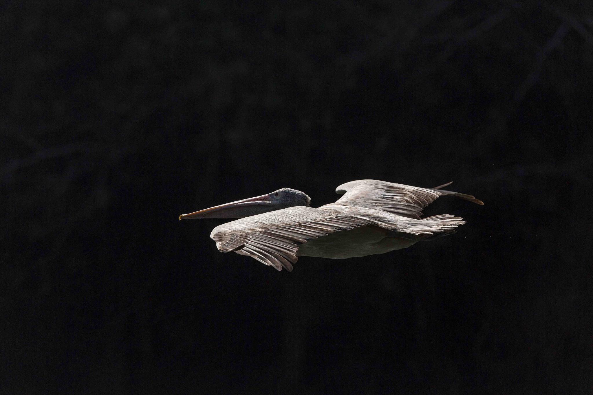 FLIGHT!!! spot-billed pelican by guran60