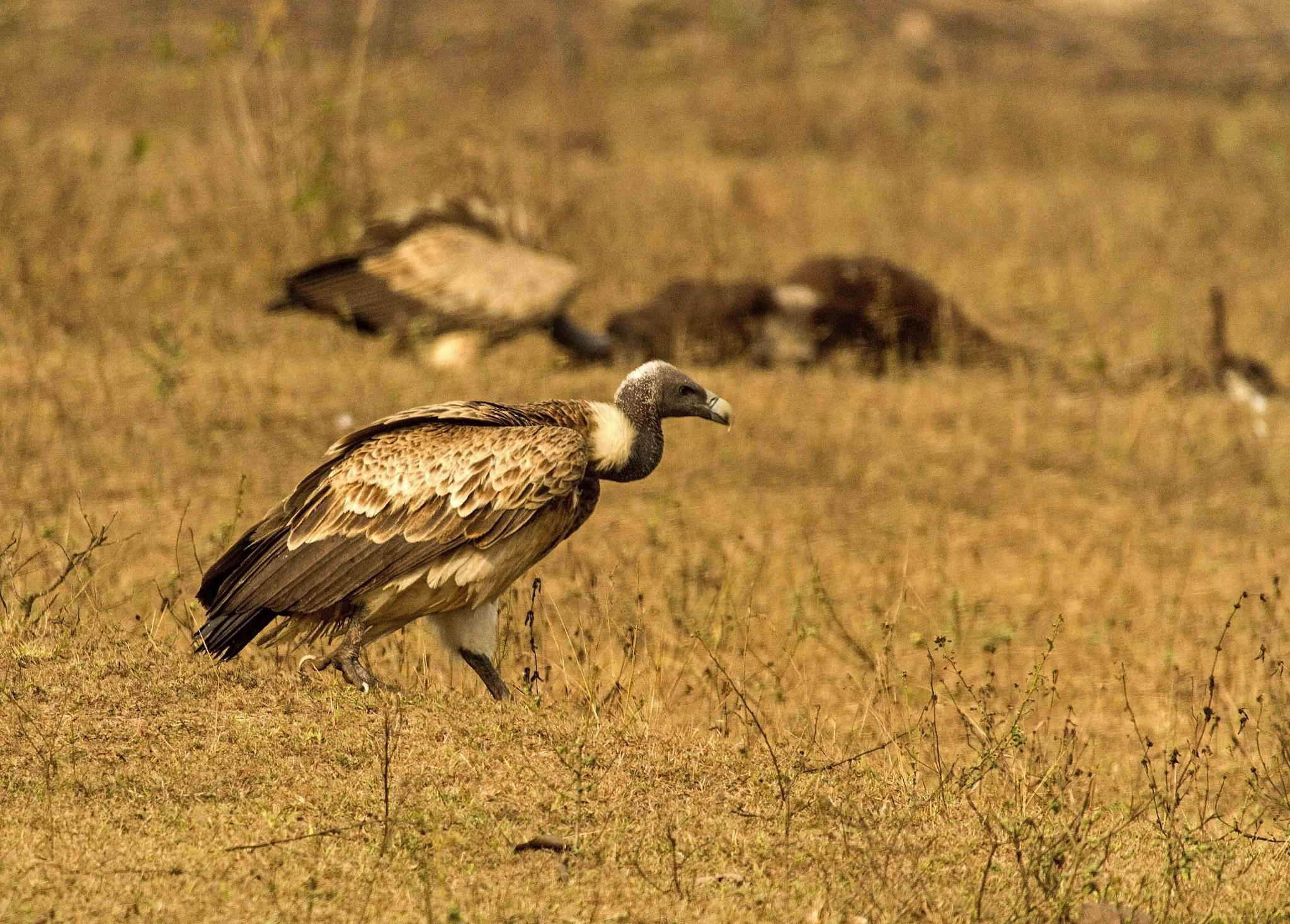 Indian Vulture.. by guran60