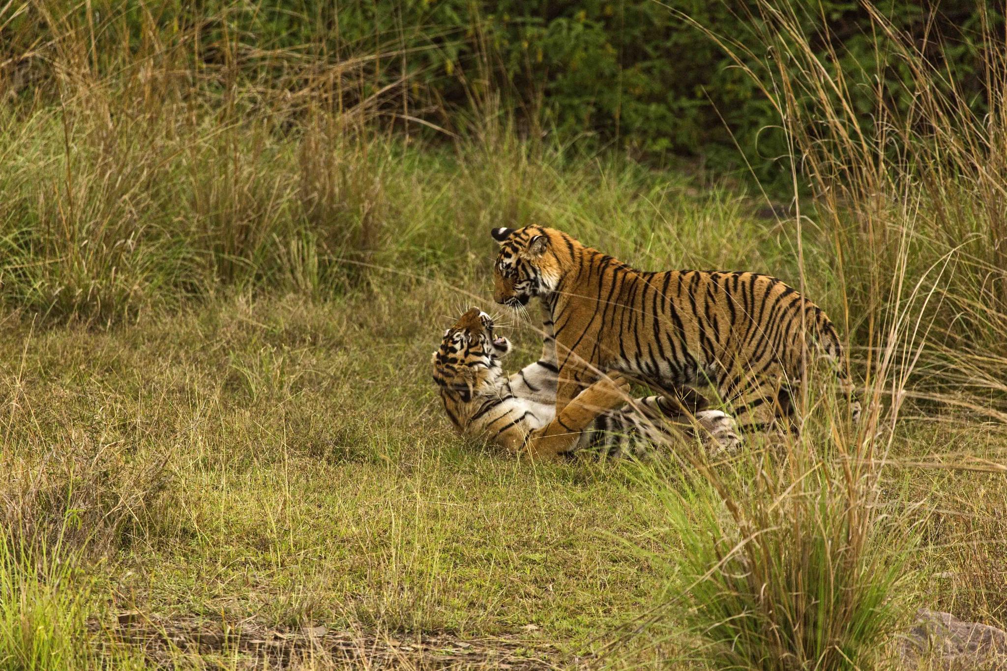 sibling rivalry!! by guran60