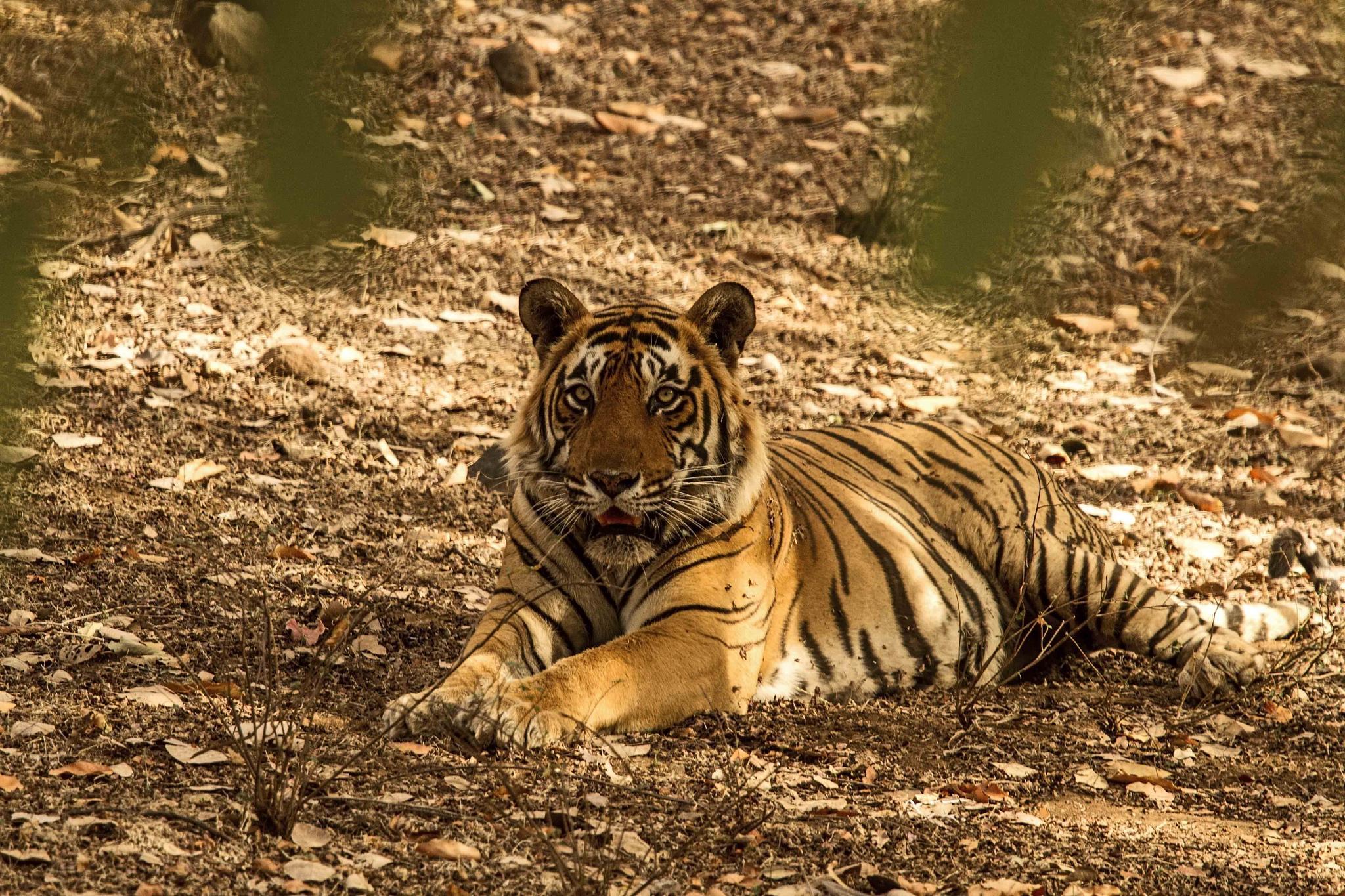 STARE!!! male tiger by guran60