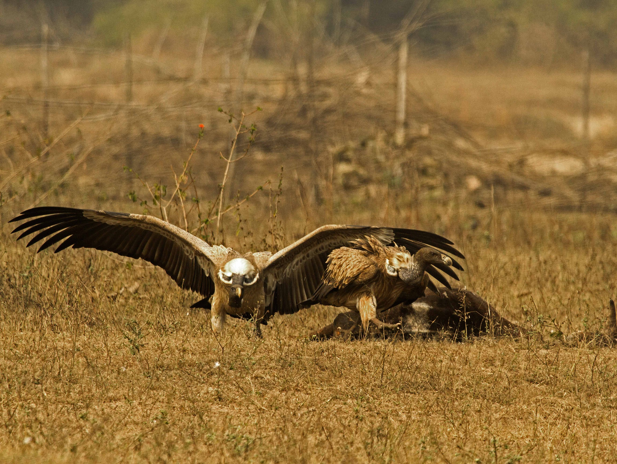 Indian Vultures... by guran60
