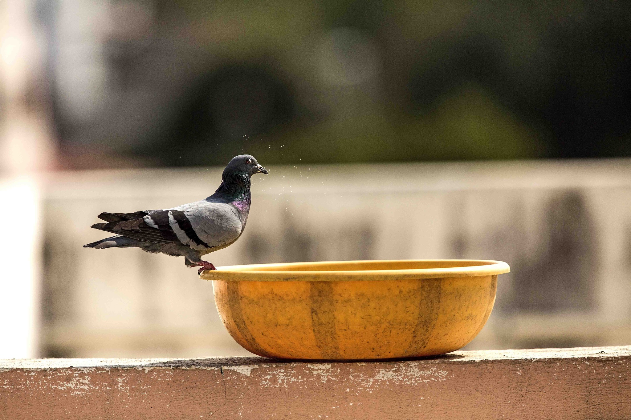 Rock Pigeon by guran60