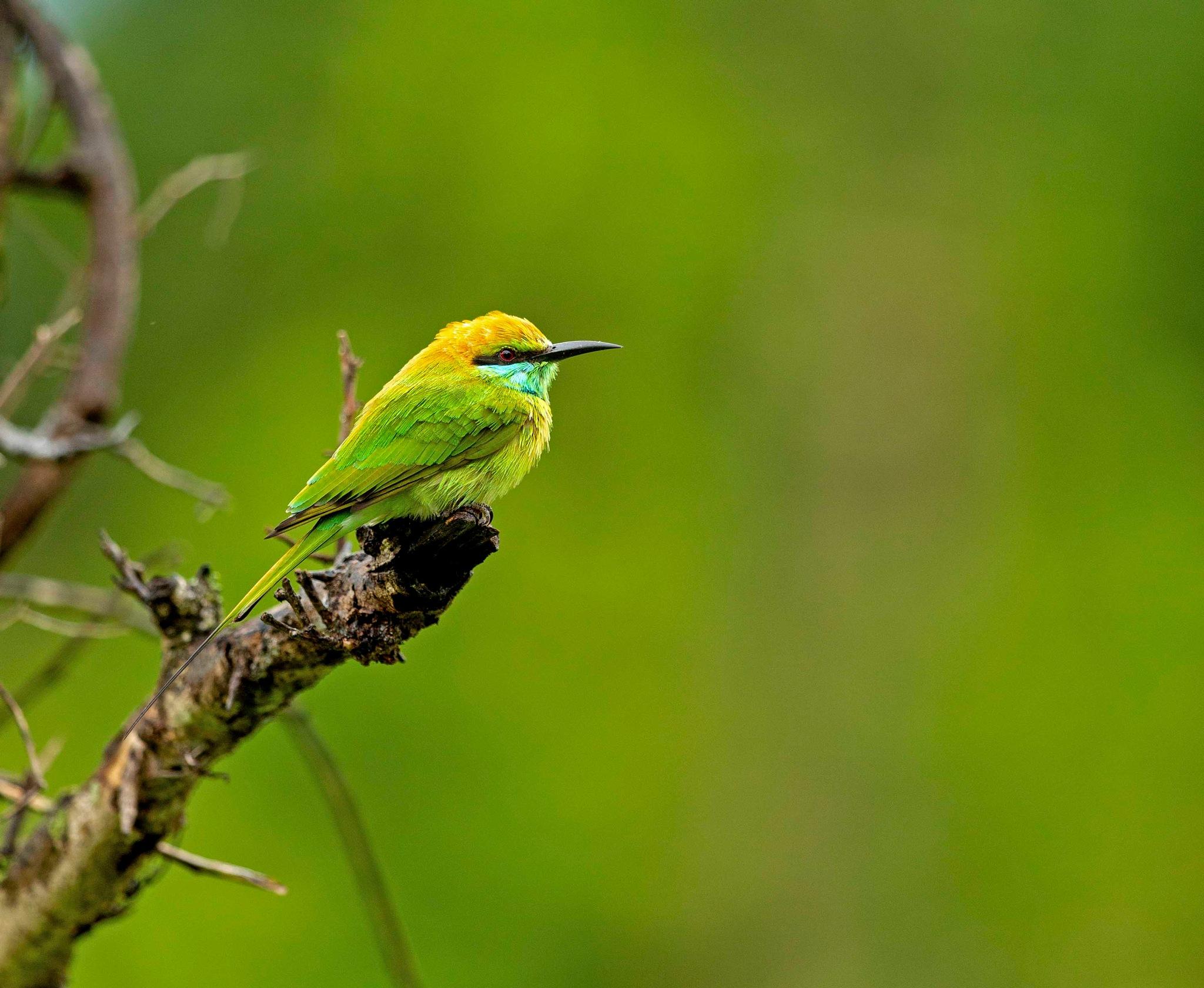 3D8B1656 _ Green Bee - eater!!!_ by guran60