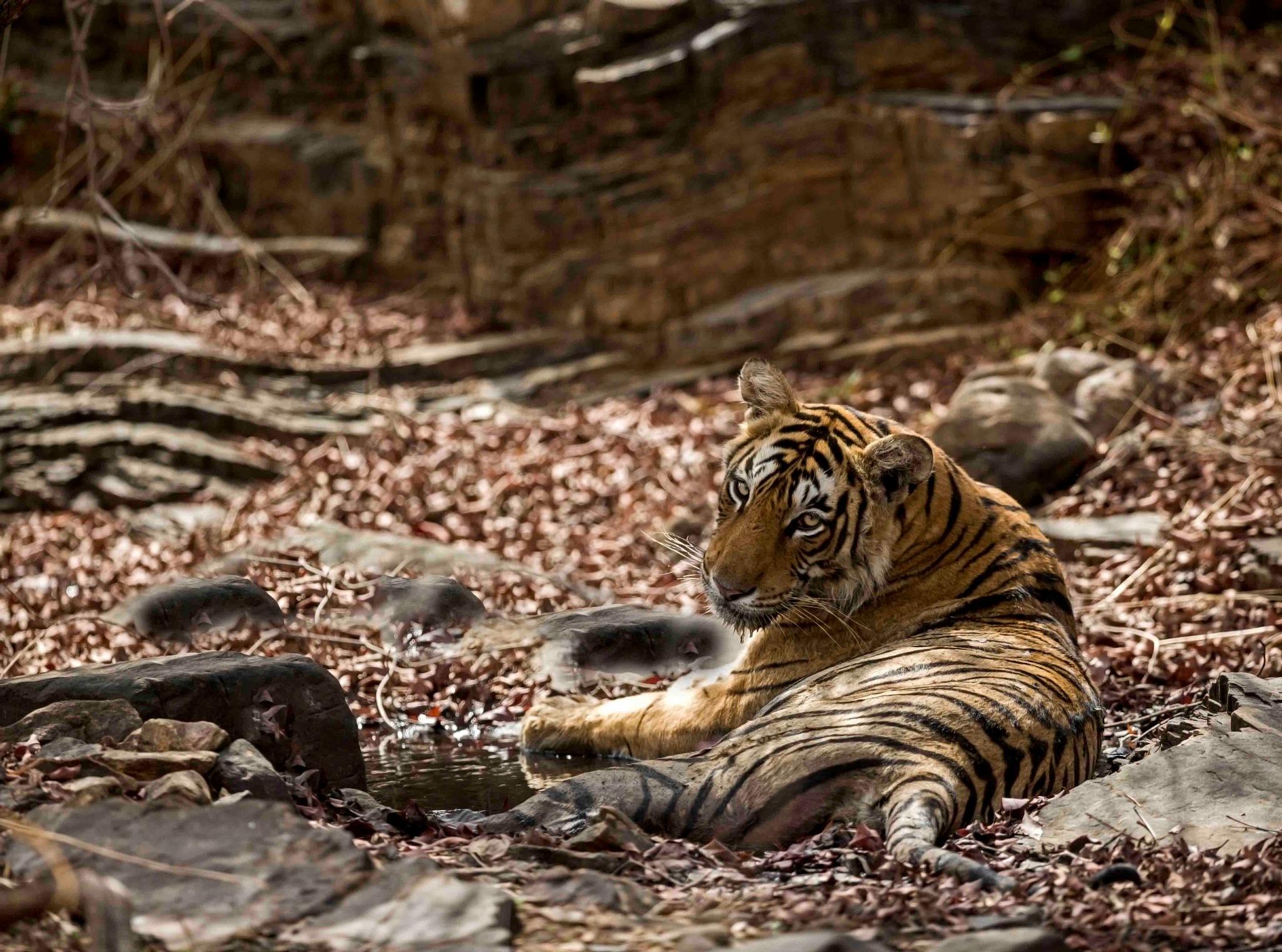 Photo in Animal #tigress #wild #raving