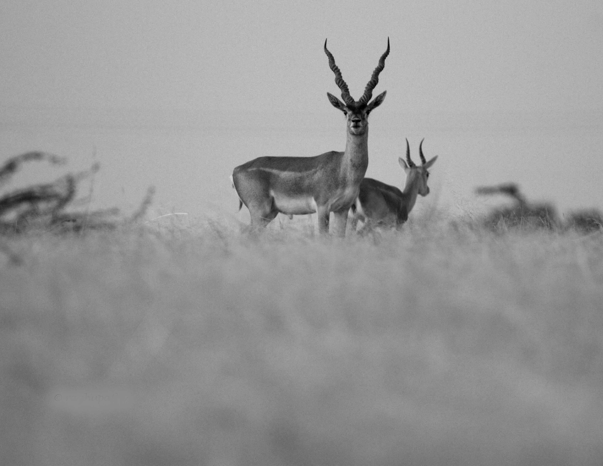 _BLACKBUCK!!!_ by guran60