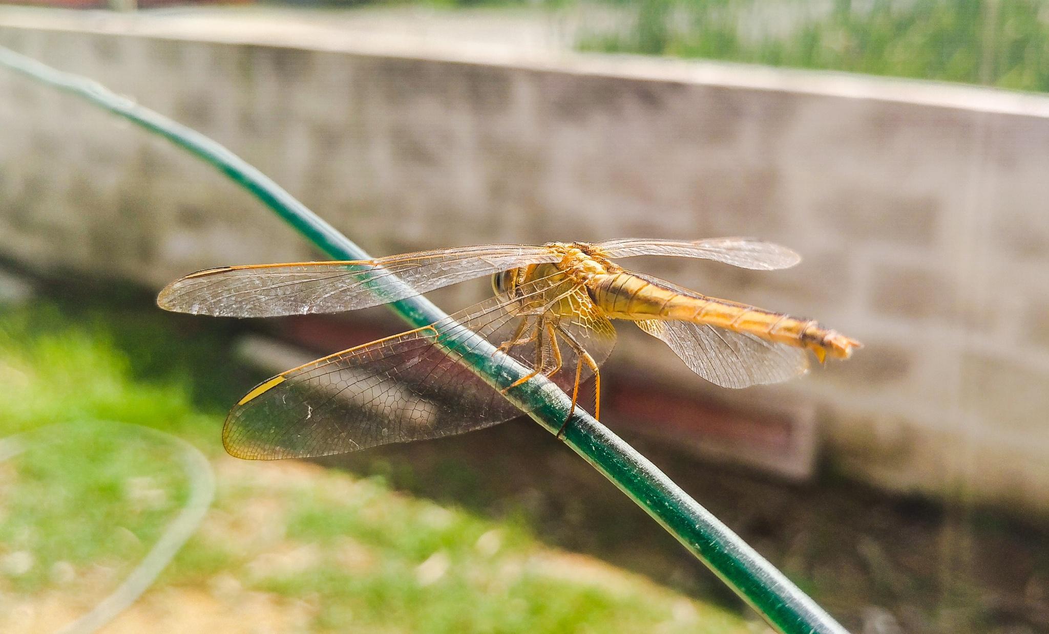 Dragon fly by KarthikBabu