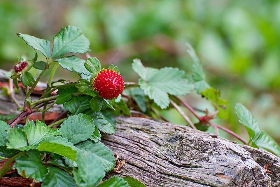 Berry on a log by Brian Reimiller
