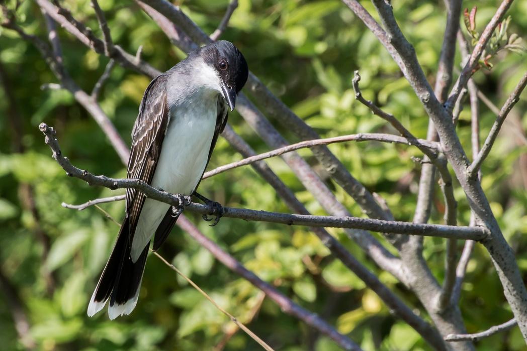 Eastern Kingbird by Dan Dabson