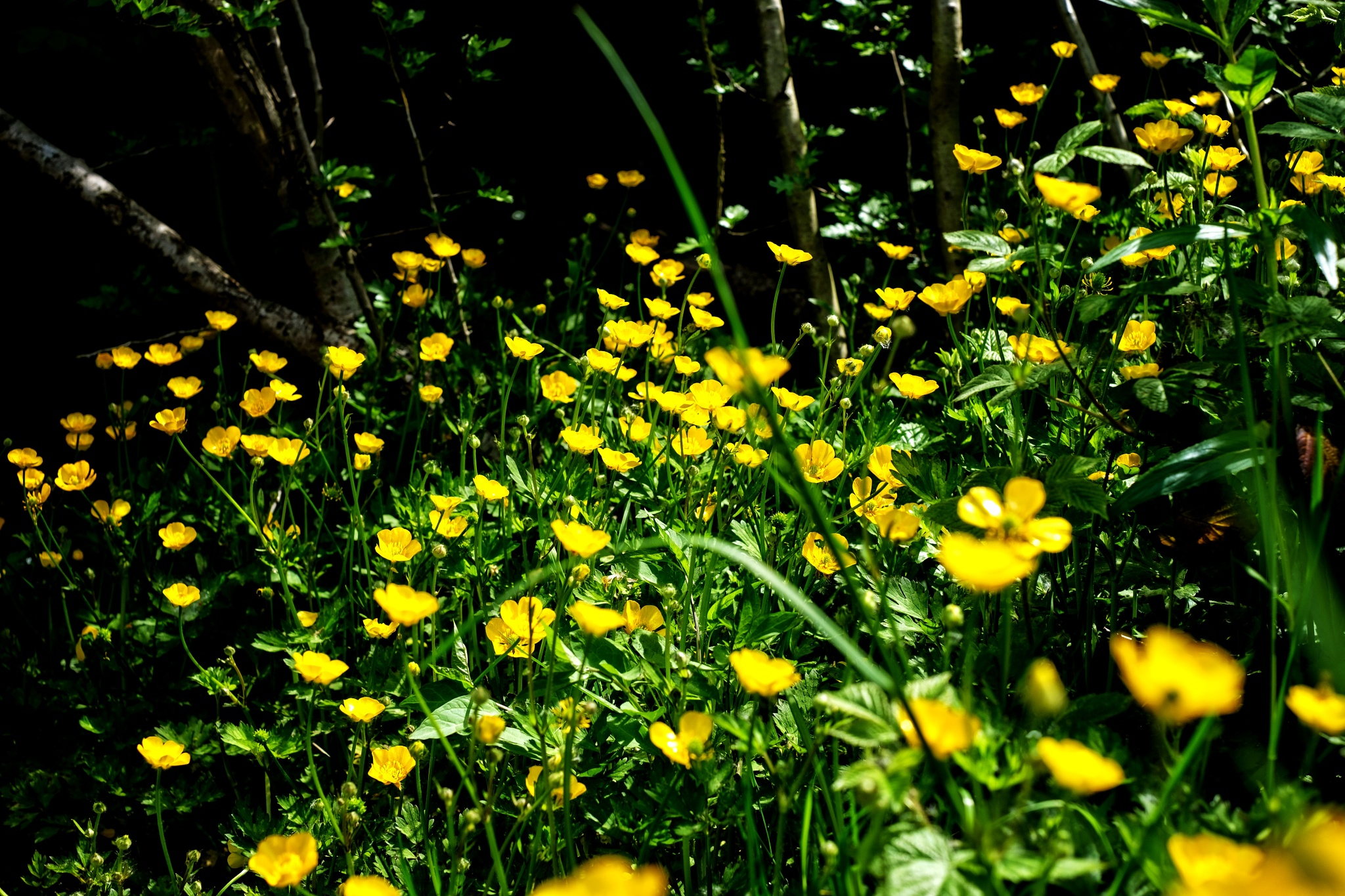 Photo in Nature #buttercups #wild flowers #flora #flowers #outdoor